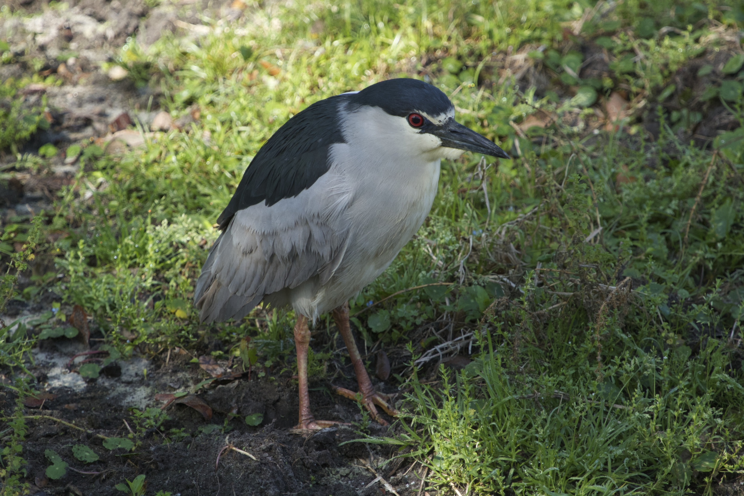 Mature adult Black-crowned Night-Heron.