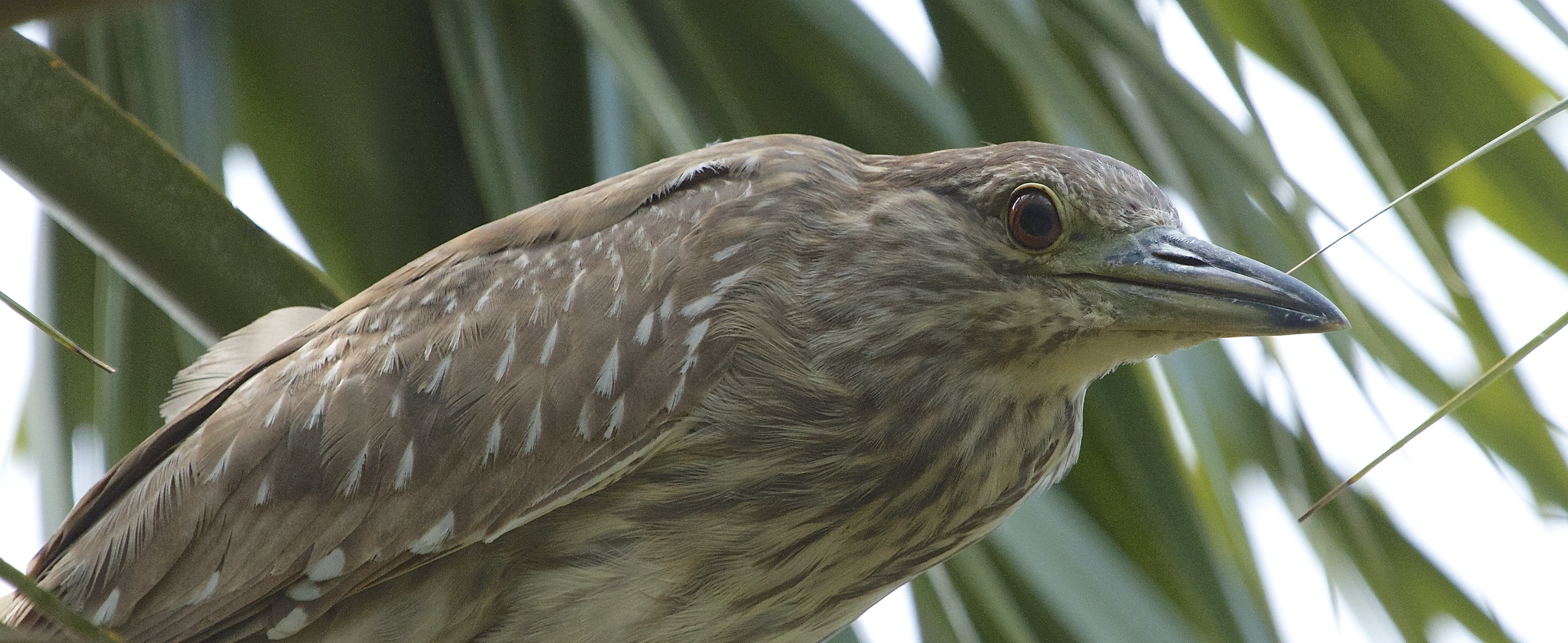 Juvenile Black-crowned Night-Heron with brown streaked feathers.