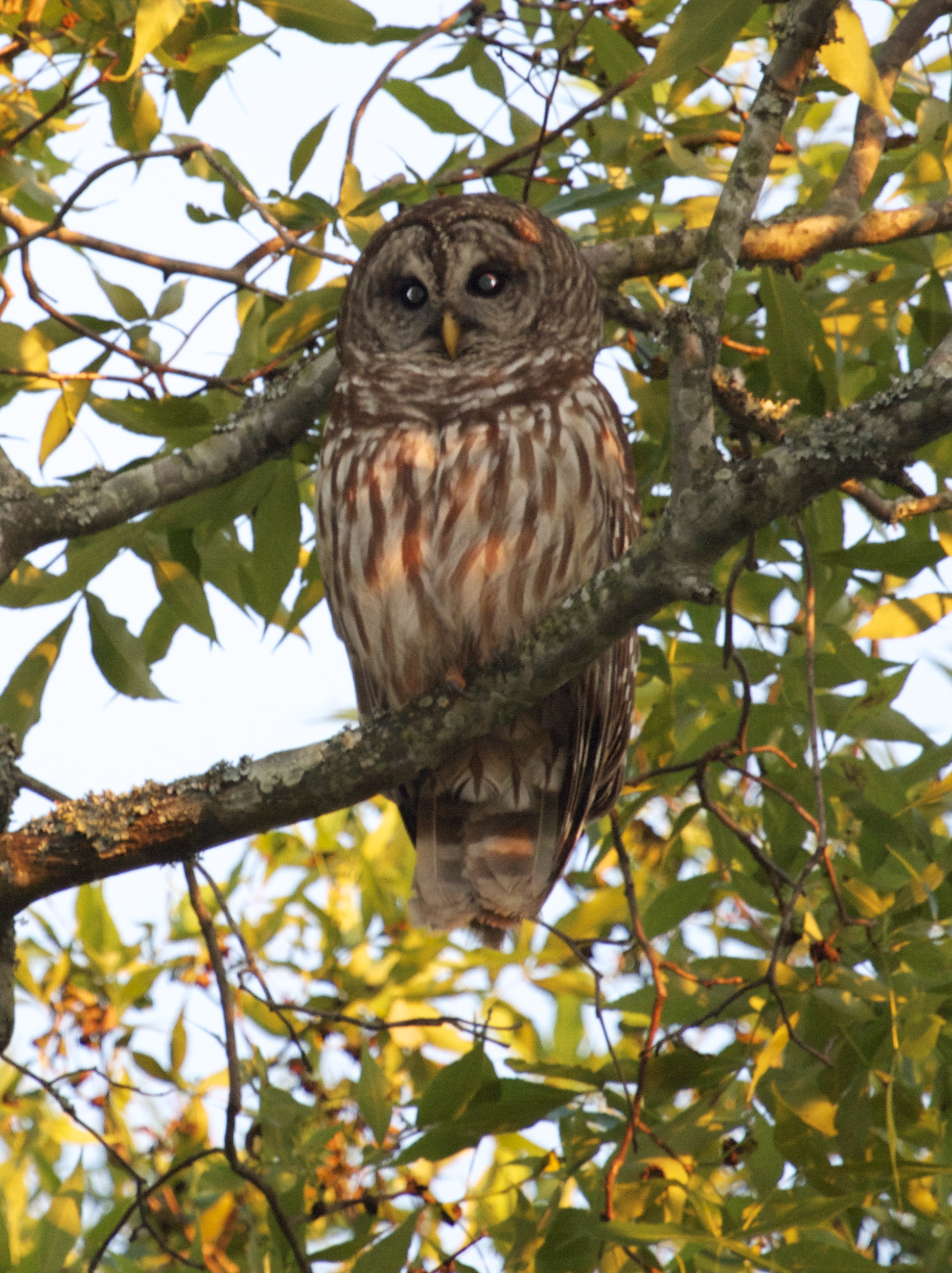 Adult Barred Owl peers down from the tree and gets caught by my flash on the camera.