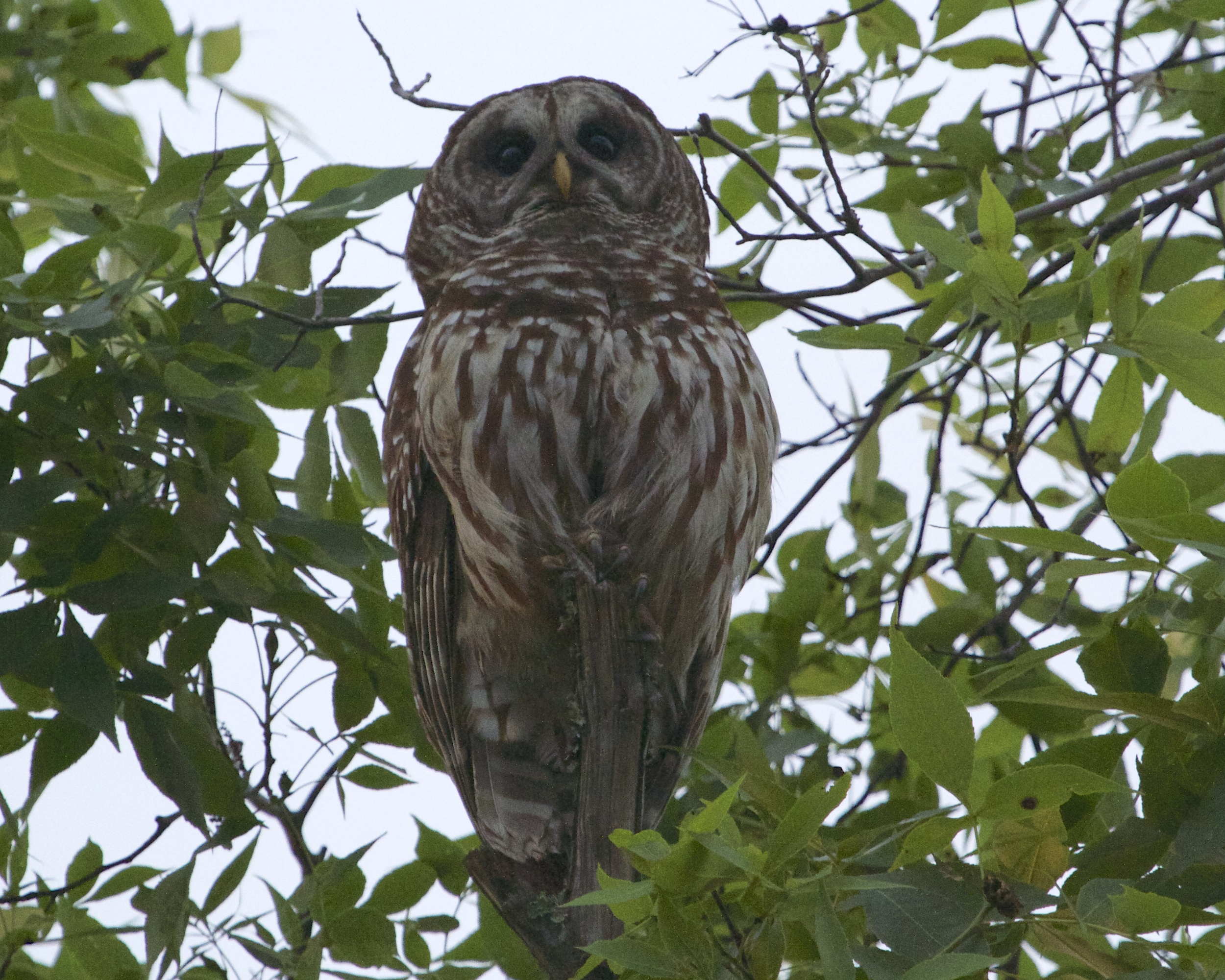 One of the two adult Barred Owls keeps a watch on me while I watch the fledglings .
