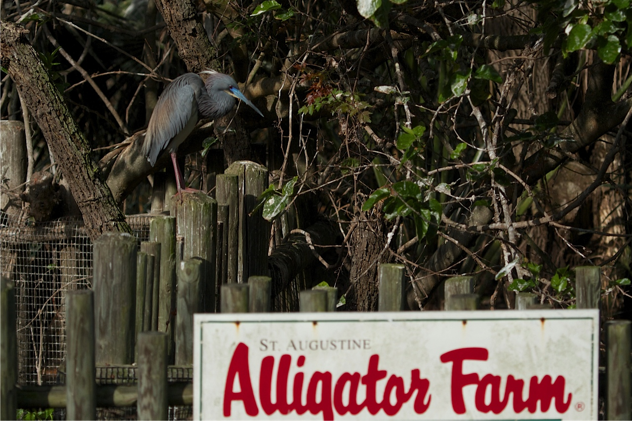 Tri-Colored Heron welcomes you back to the Alligator Farm.