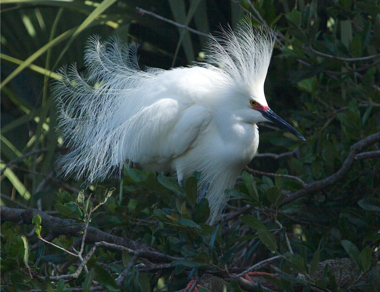 Snowy Egret puffs up when a rival approaches.