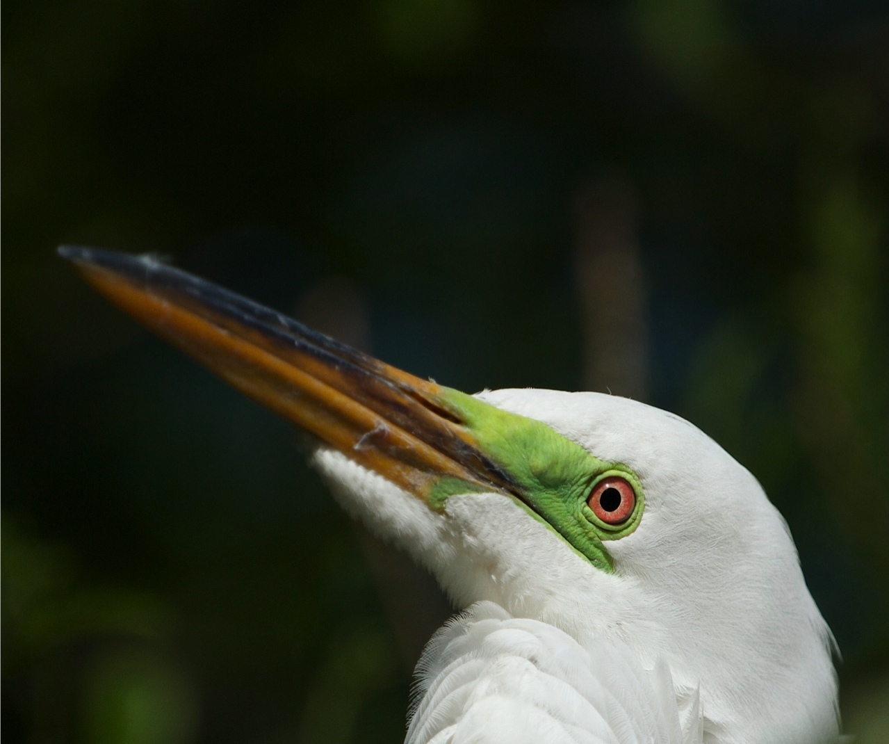 Close up of Great Egret Breeding Colors (origins of eyeshadow?)