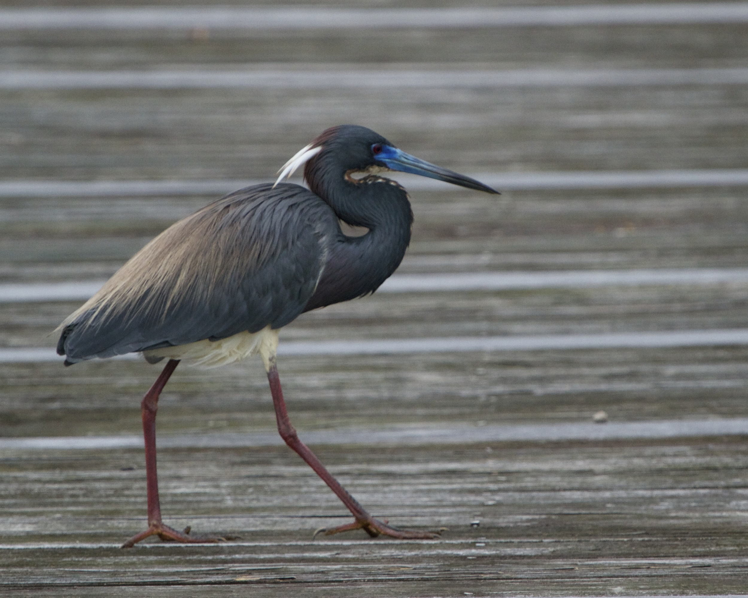 The Tri Colored Heron in Breeding plumes puts its best foot forward.