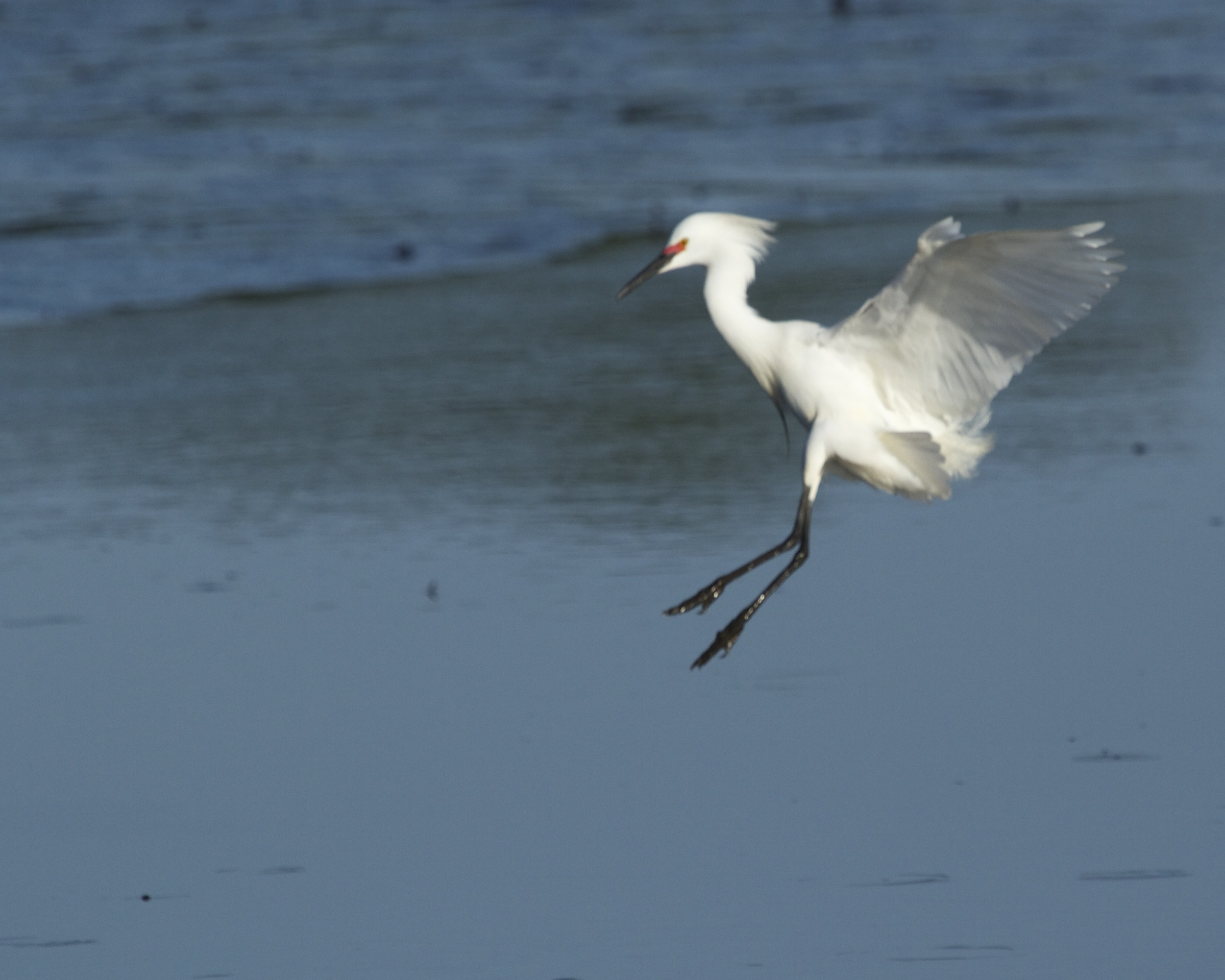 A snowy egret drops in!