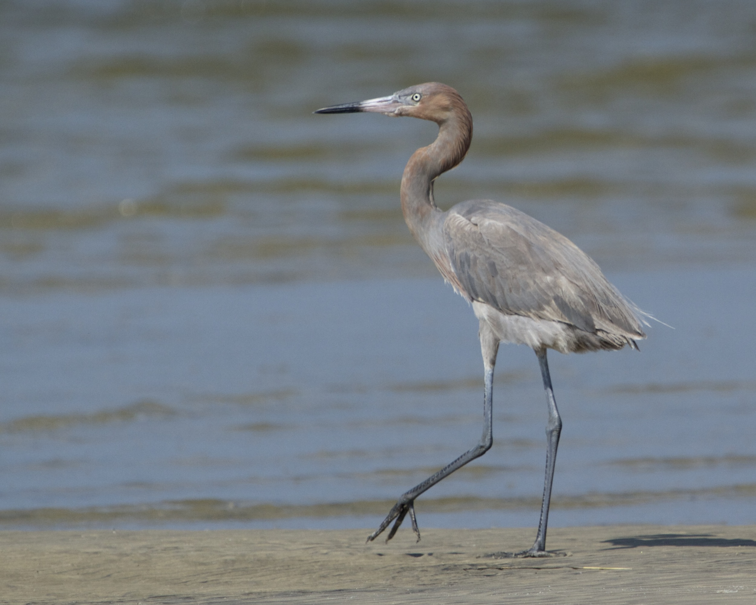 A Reddish Egret prowls the beach. My first sighting!
