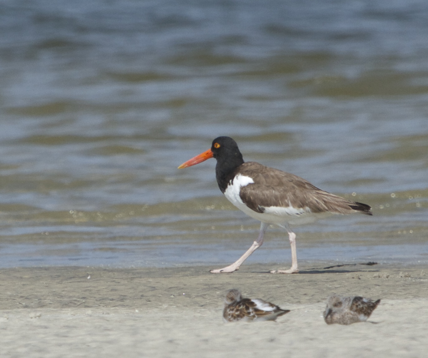 American Oystercatcher. Only about 10000 birds are estimated to remain in North America.