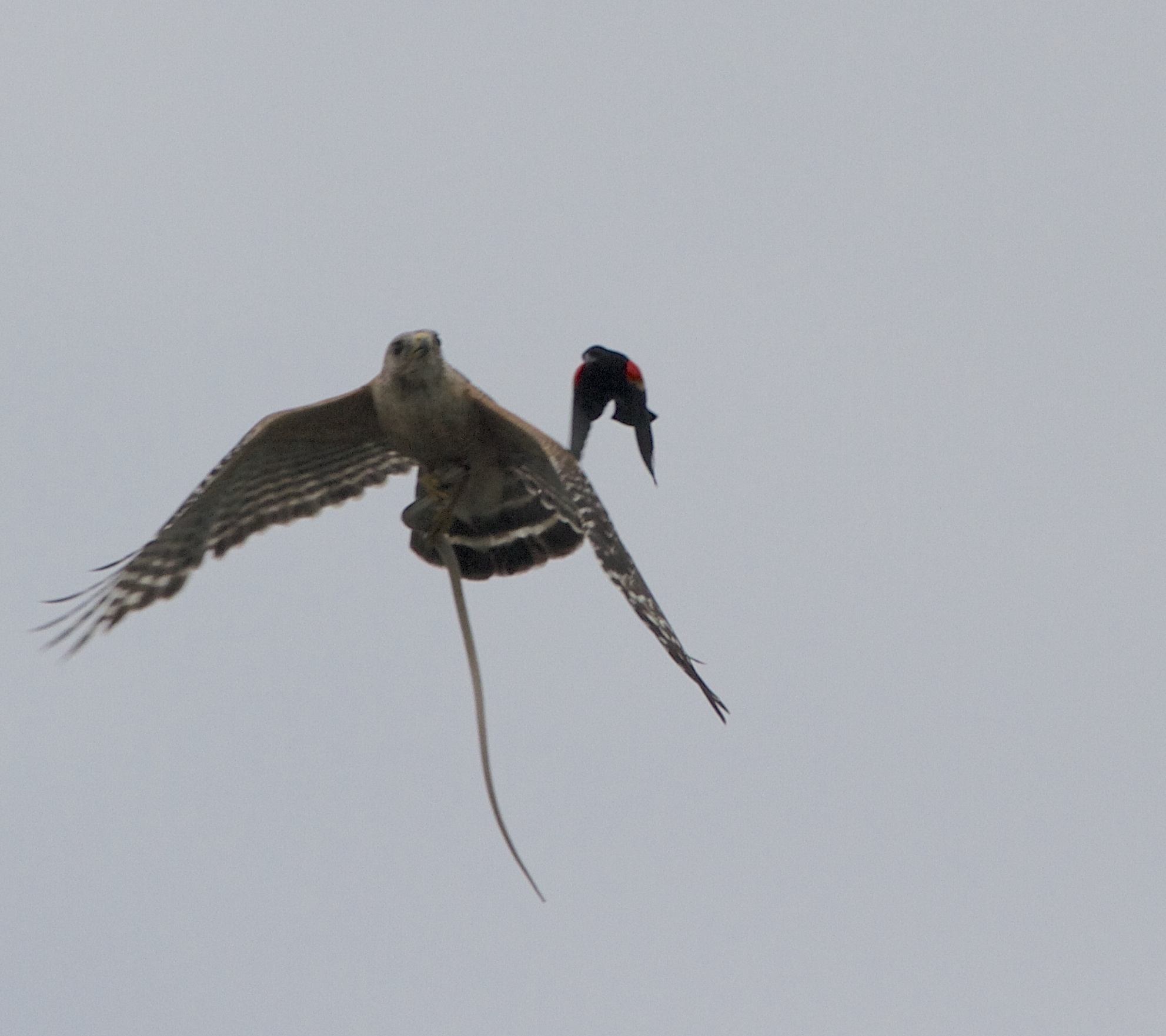 A brave Red-winged Blackbird flies escort above the Hawk.