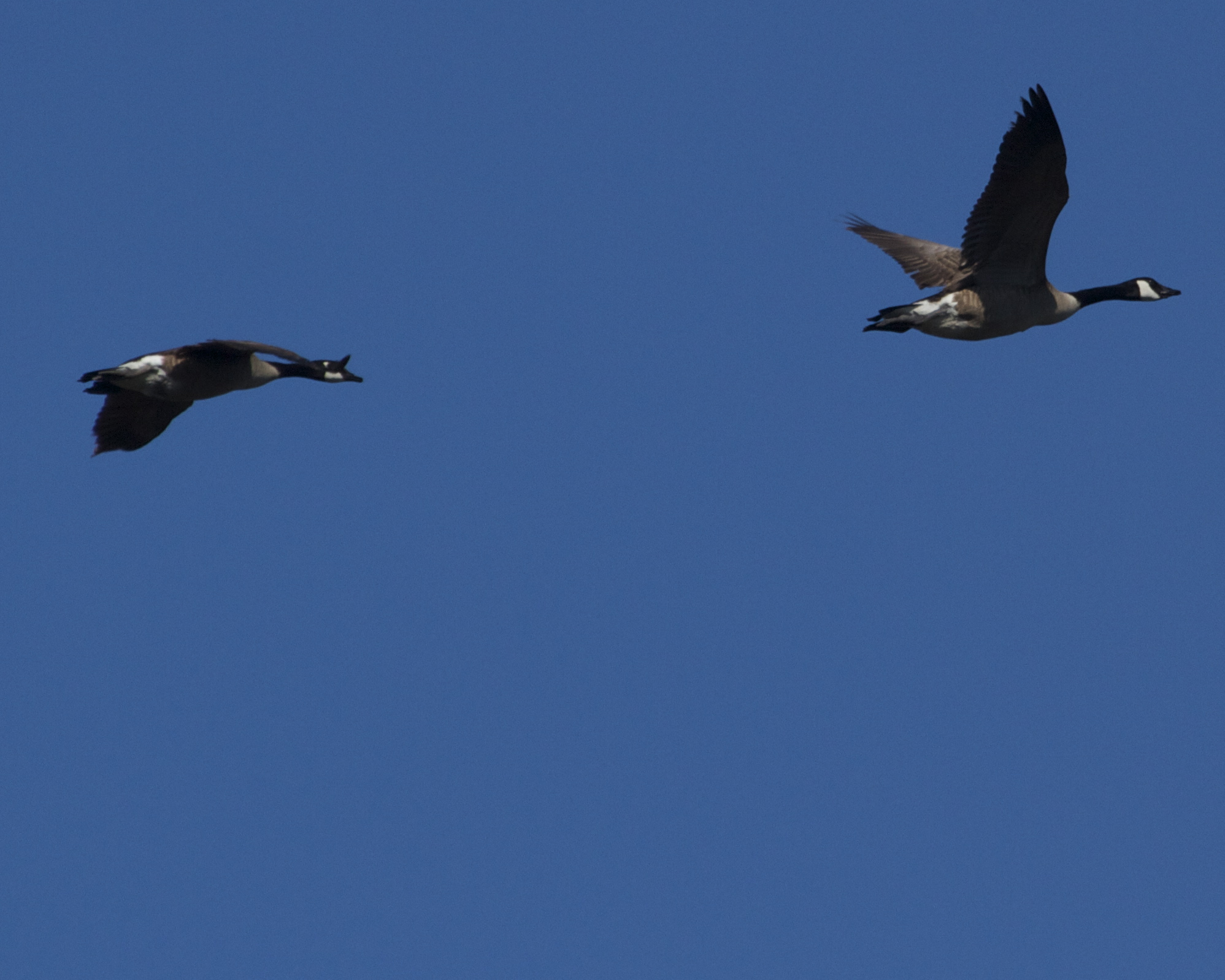 A pair of Canada Geese head for Goose Pond.