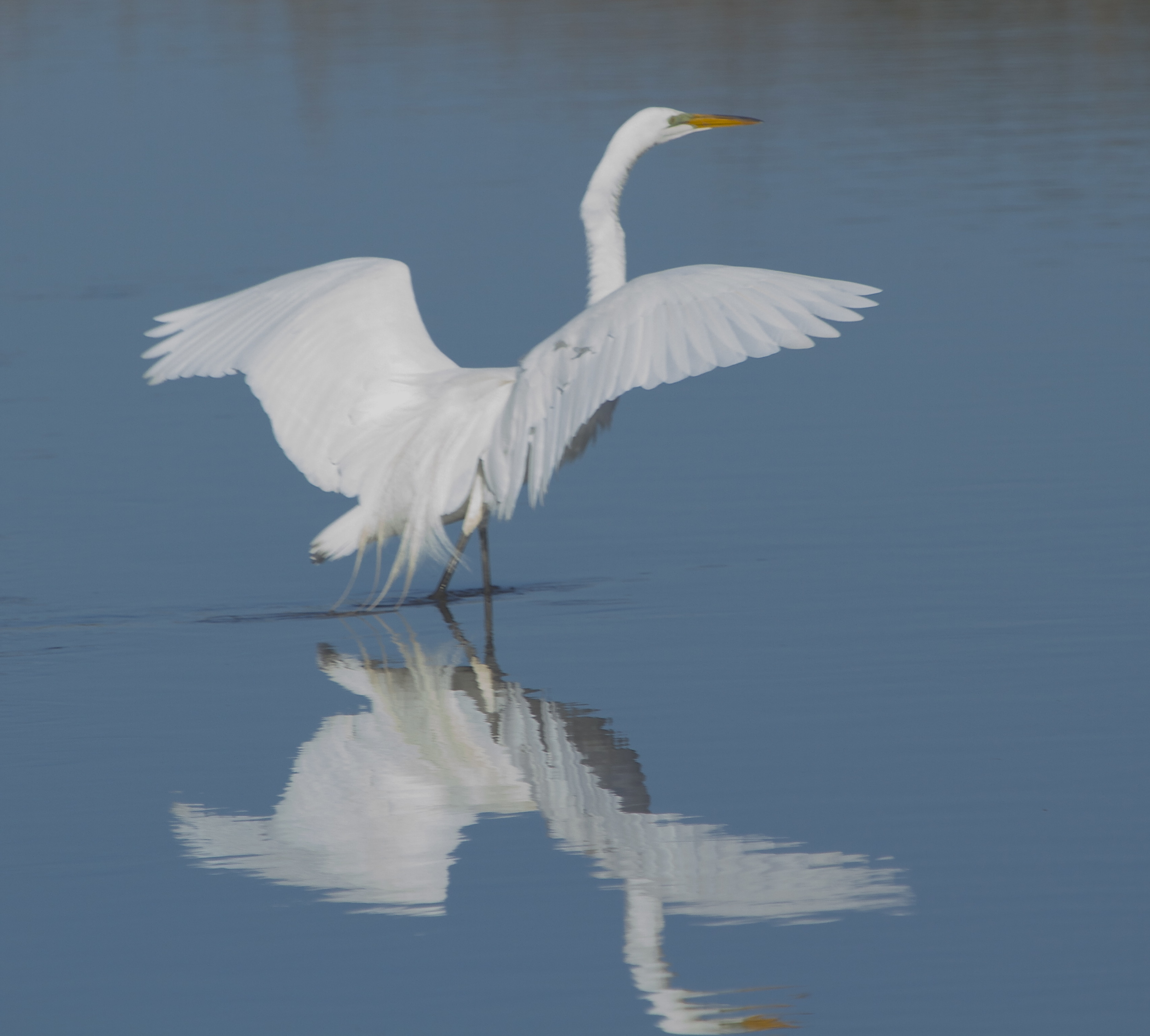 The Egret is still showing breeding colors as the broad wings reflect in the Broward.