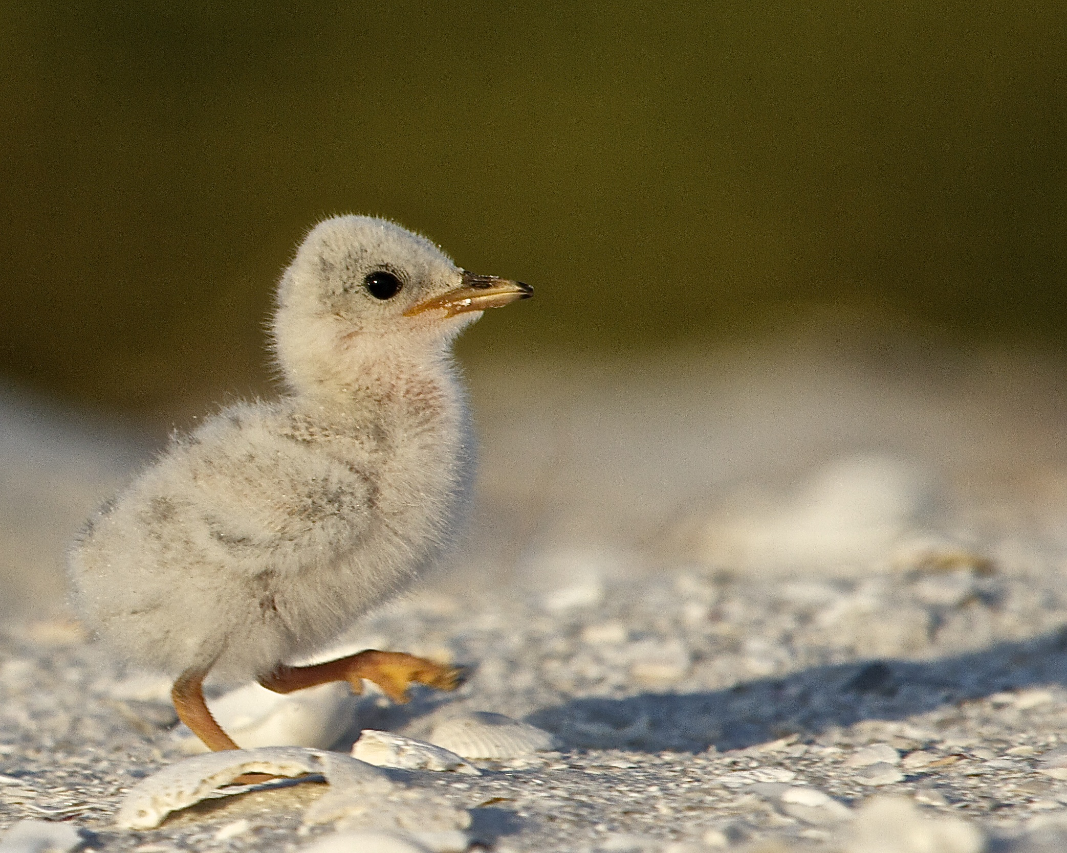 A hatchling Least Tern's first steps.
