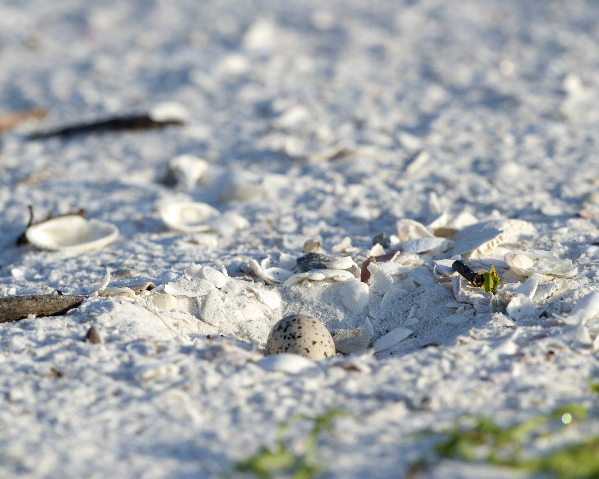 The lone egg of the Least Tern lies camouflaged in the shallow nest in the sand.
