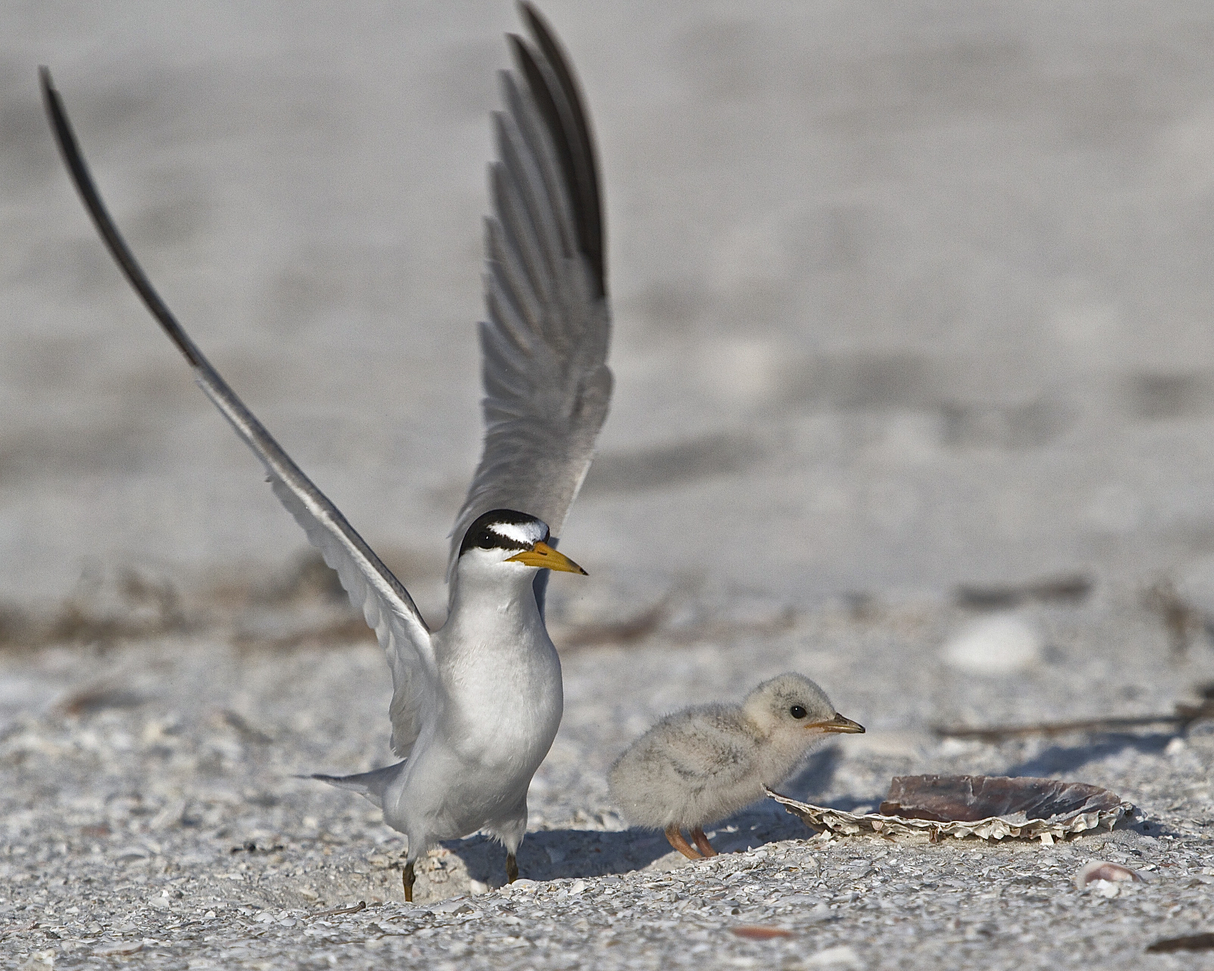 Least Tern alerts as we approach the nest and hatchling.