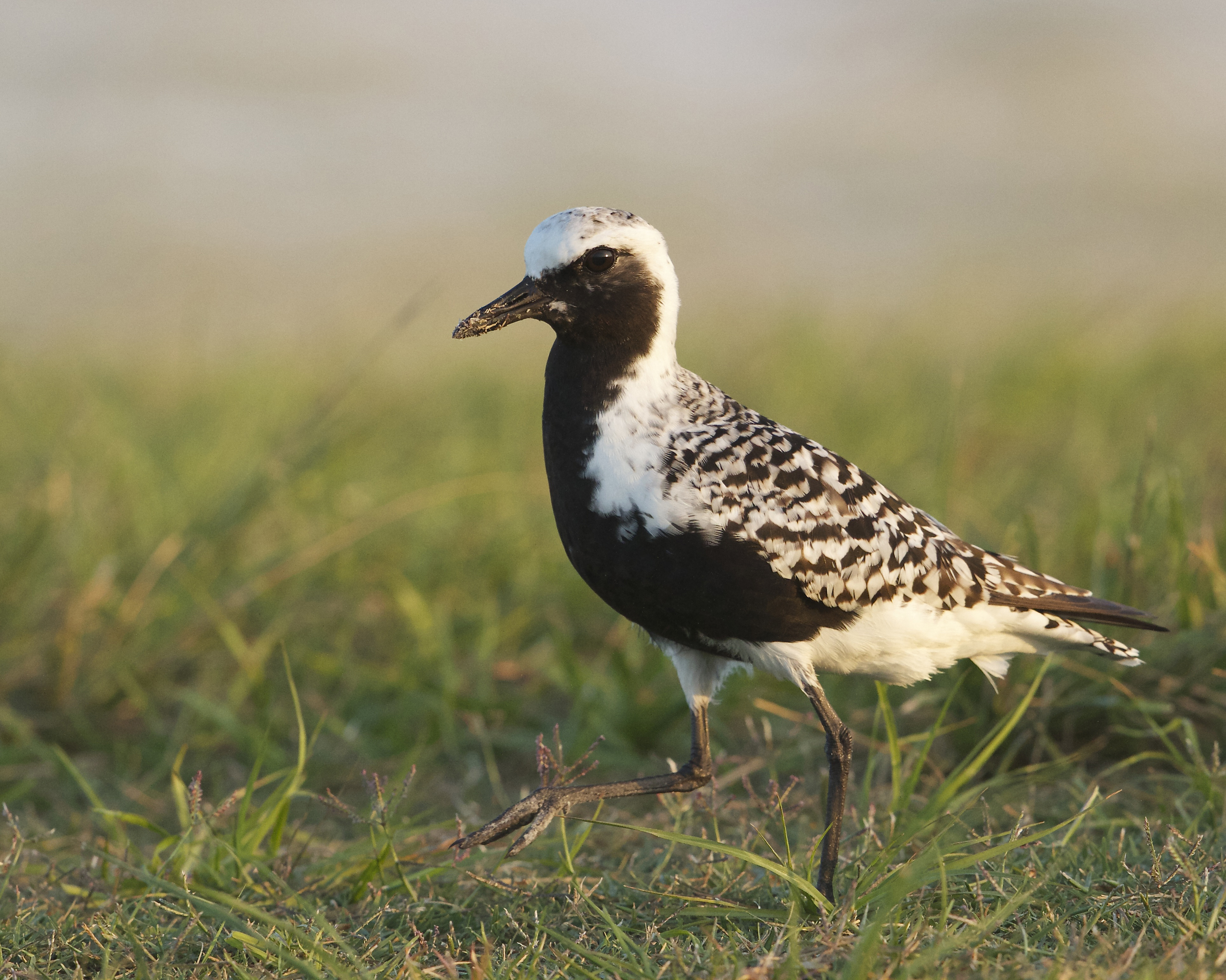 A Migratory bird, the Black Bellied Plover in breeding colors.