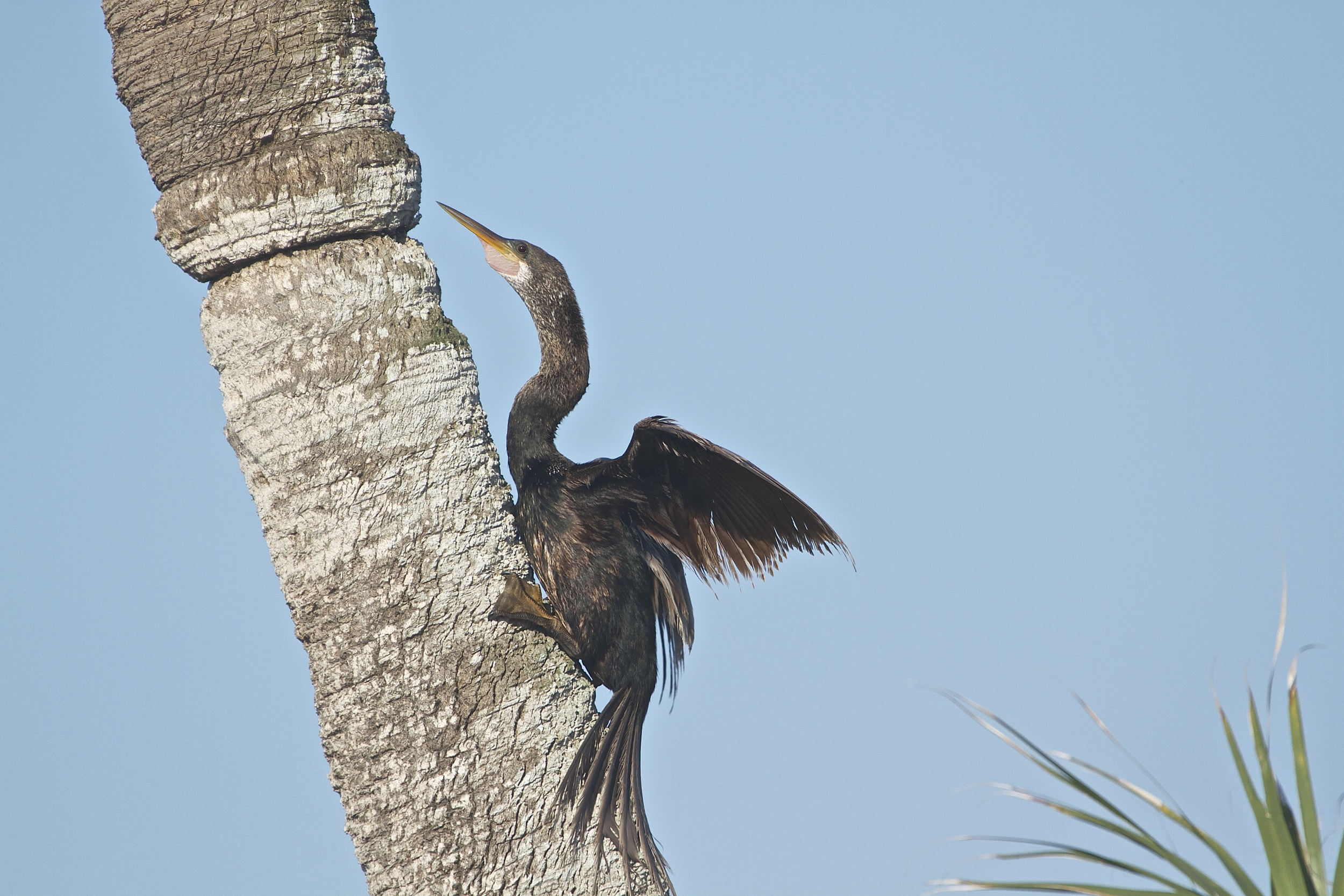 A male Anhinga climbs up a palm trunk to warm in the morning sun.
