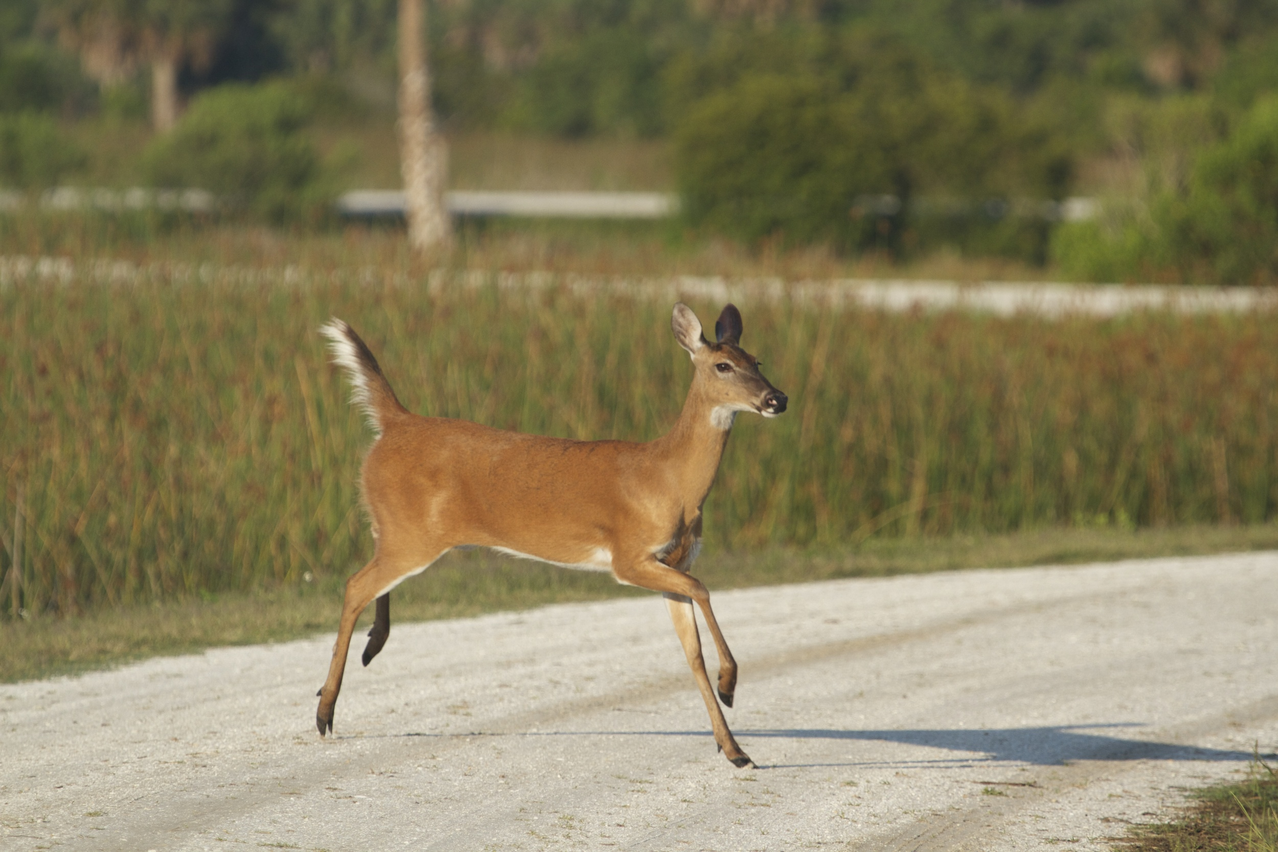 A white tailed deer doe scampers across the road.