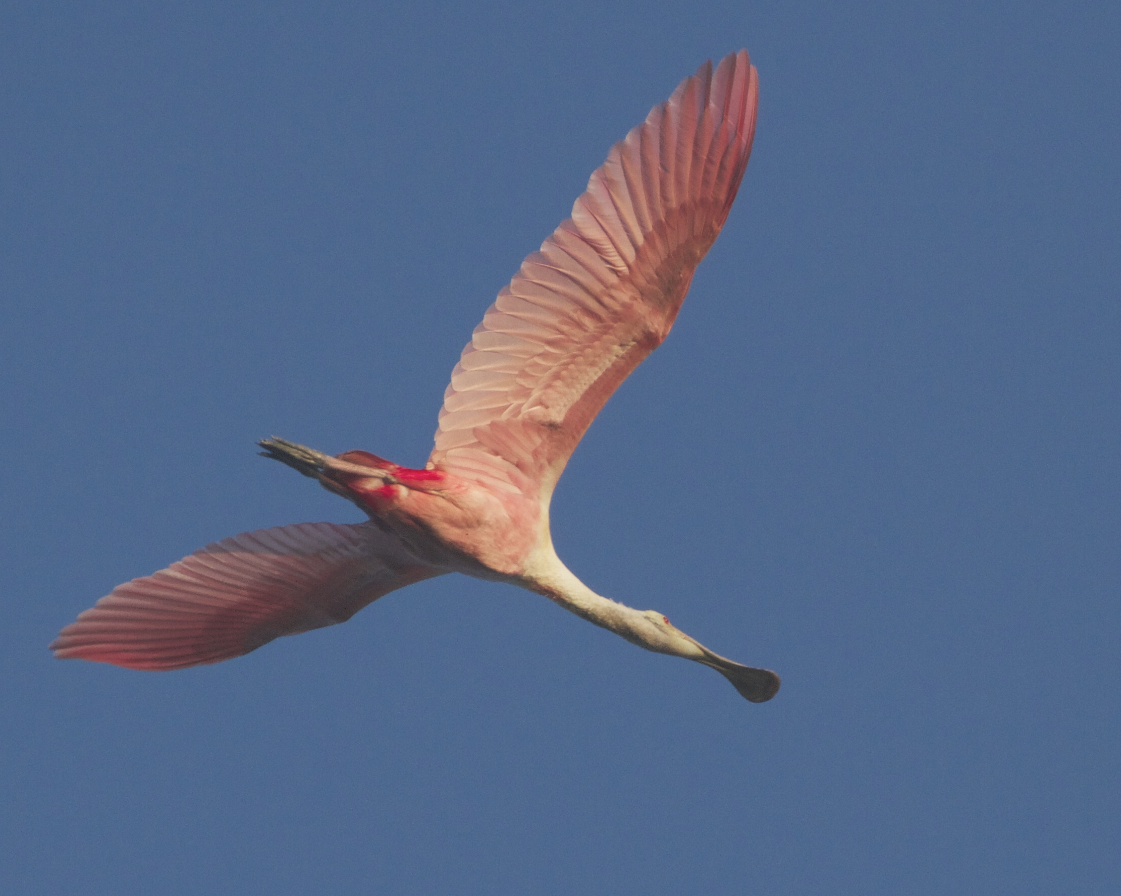 Broad Pink wings of the Roseate Spoonbill soar overhead.