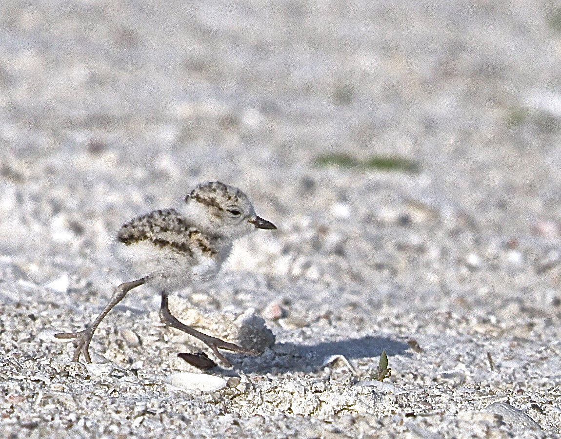 "Scurrying as fast as its legs can go, this little ""Fuzz Ball"" plover hatchling seems to shout ""I'm Flying! I'm Flying!"