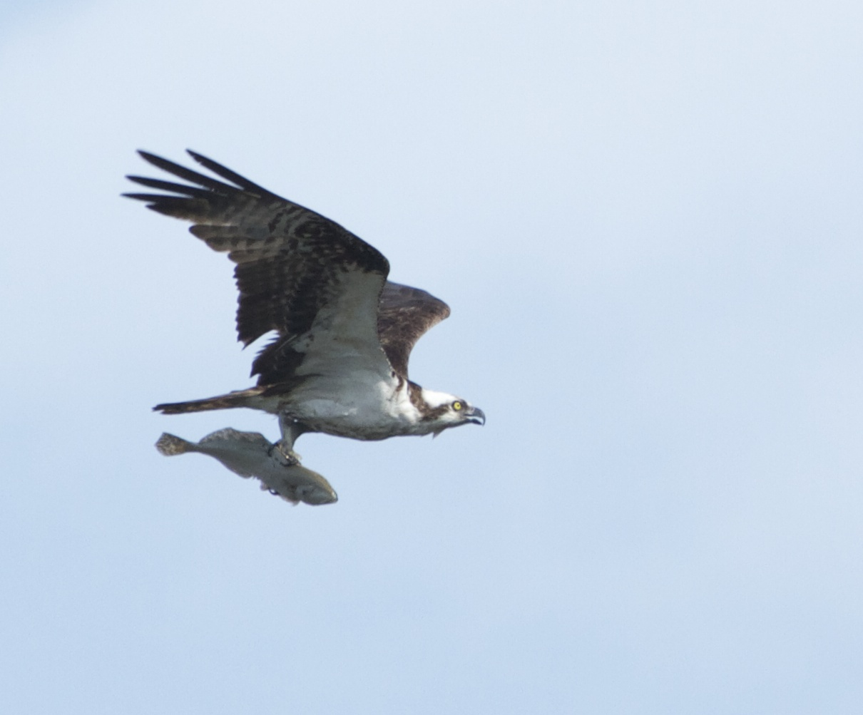 A Male Osprey with its catch of the day, a large flounder.