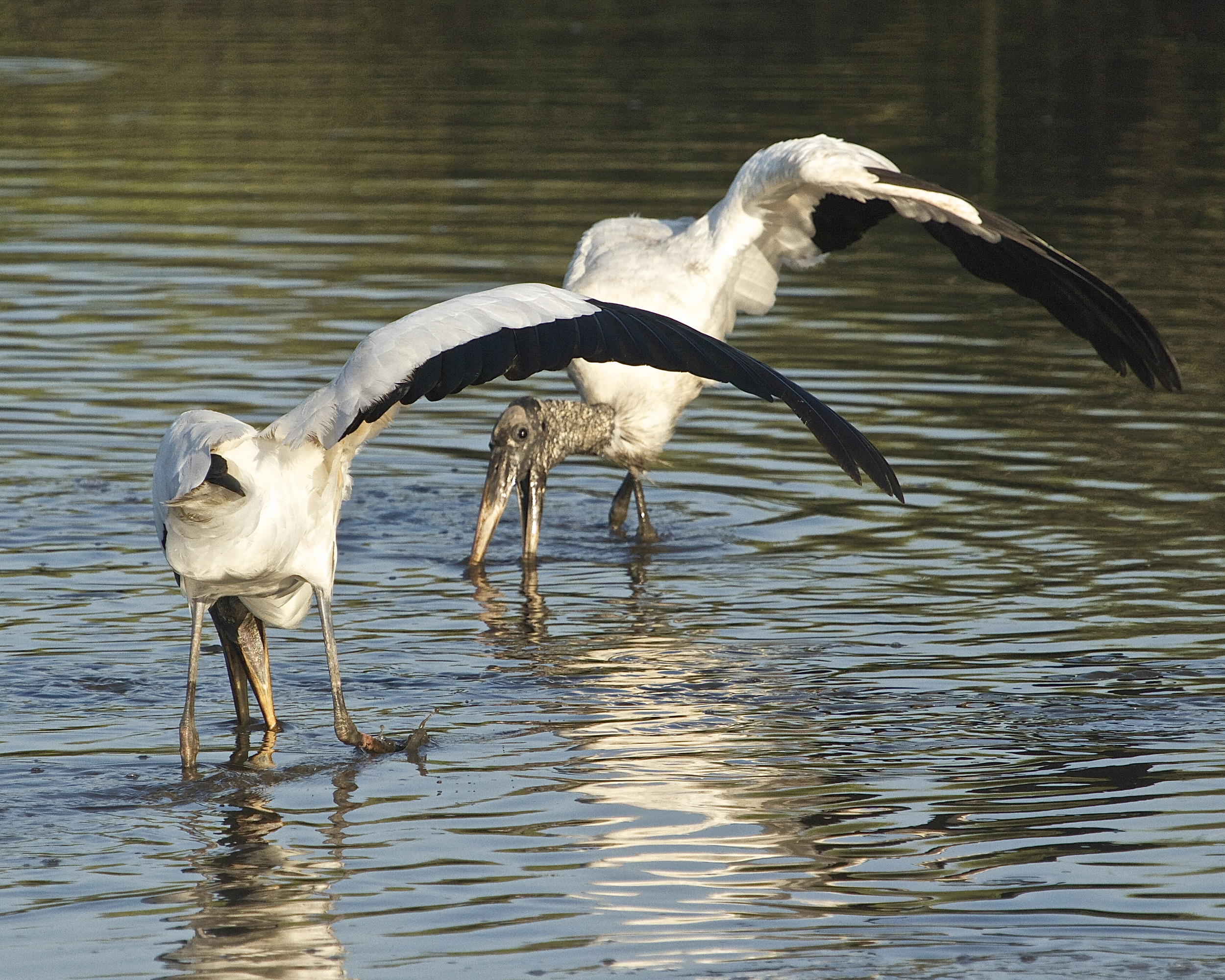 The Wood Storks use a raised wing and sweeping foot to spook the minnows into waiting beaks.