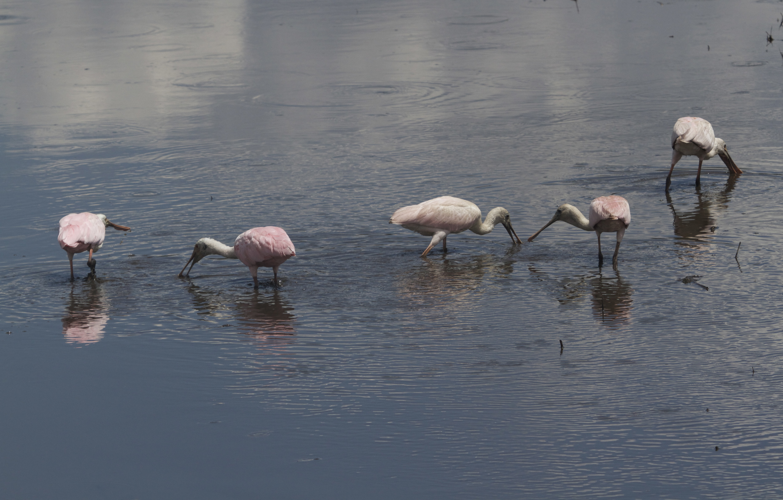 Five Roseate Spoonbills feed in the shallow tidal flow on the Broward.