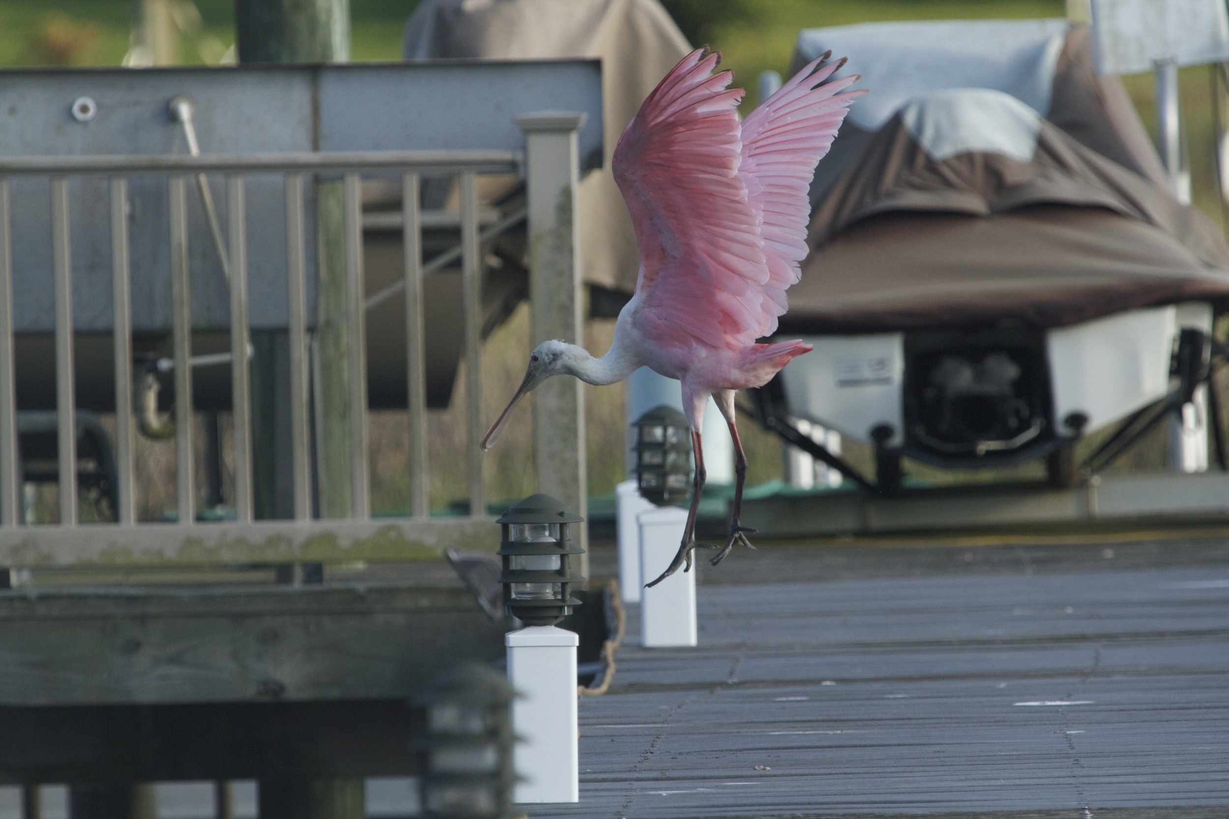 One by one four spoonbills hop up on the dock ahead of me to cross over to the other stream to feed.
