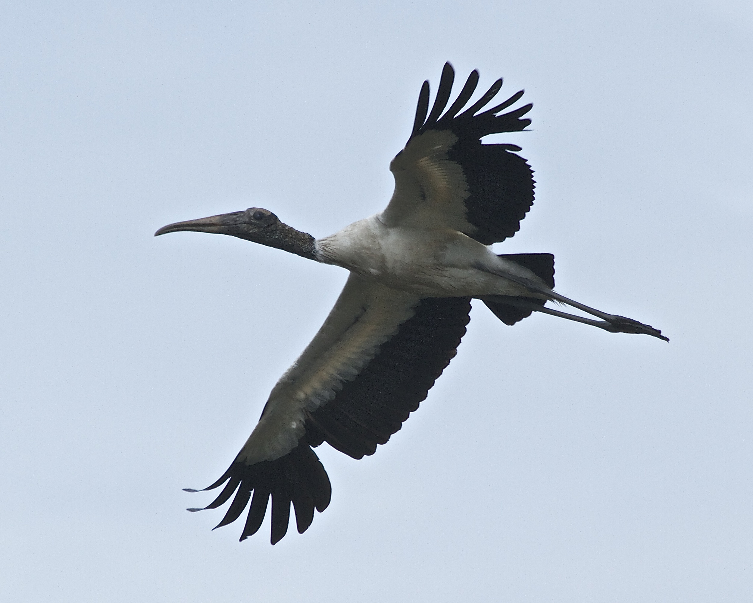 Wood Stork on a morning flight.