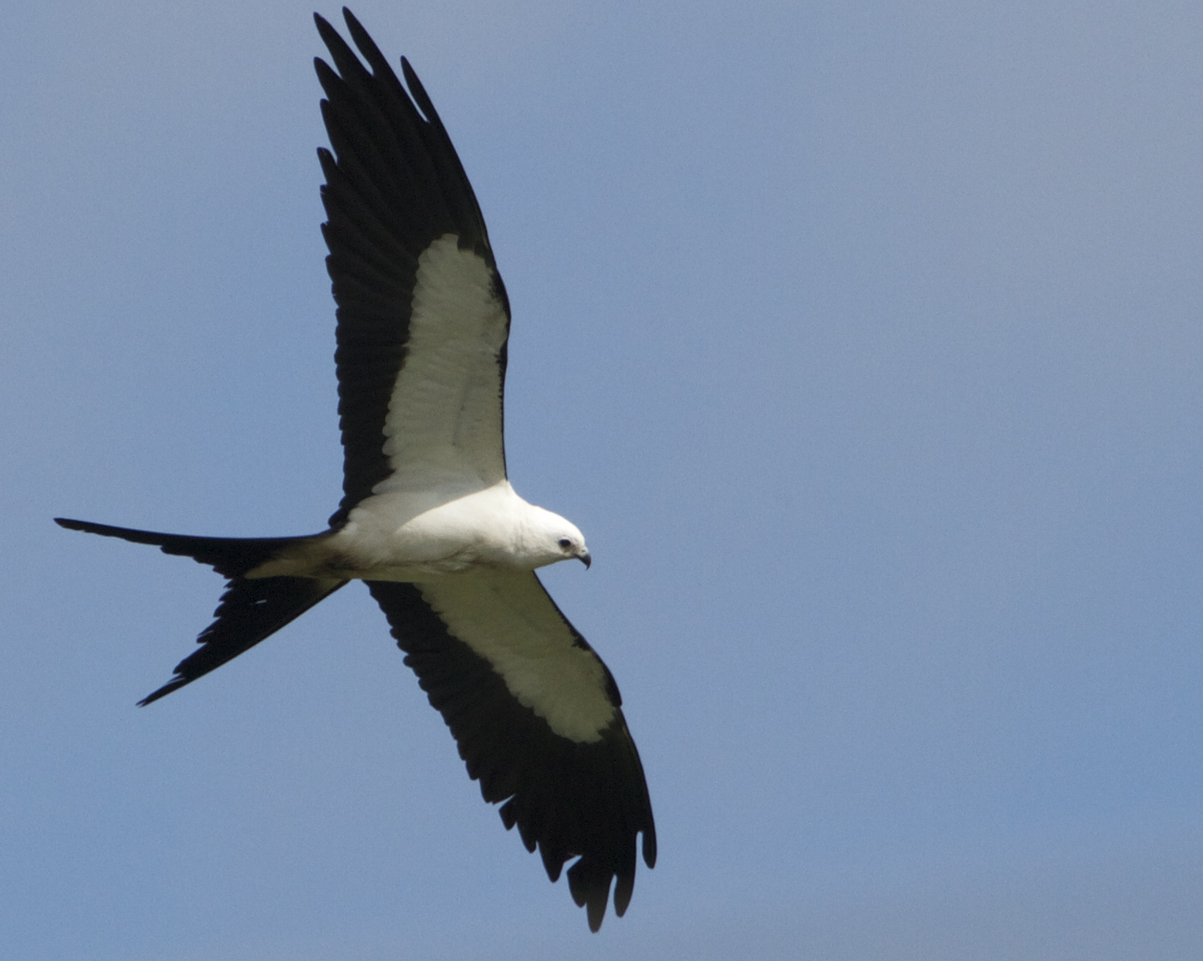 The Swallow-tailed Kite uses its forked tail like a rudder and rarely flaps its wings in flight.