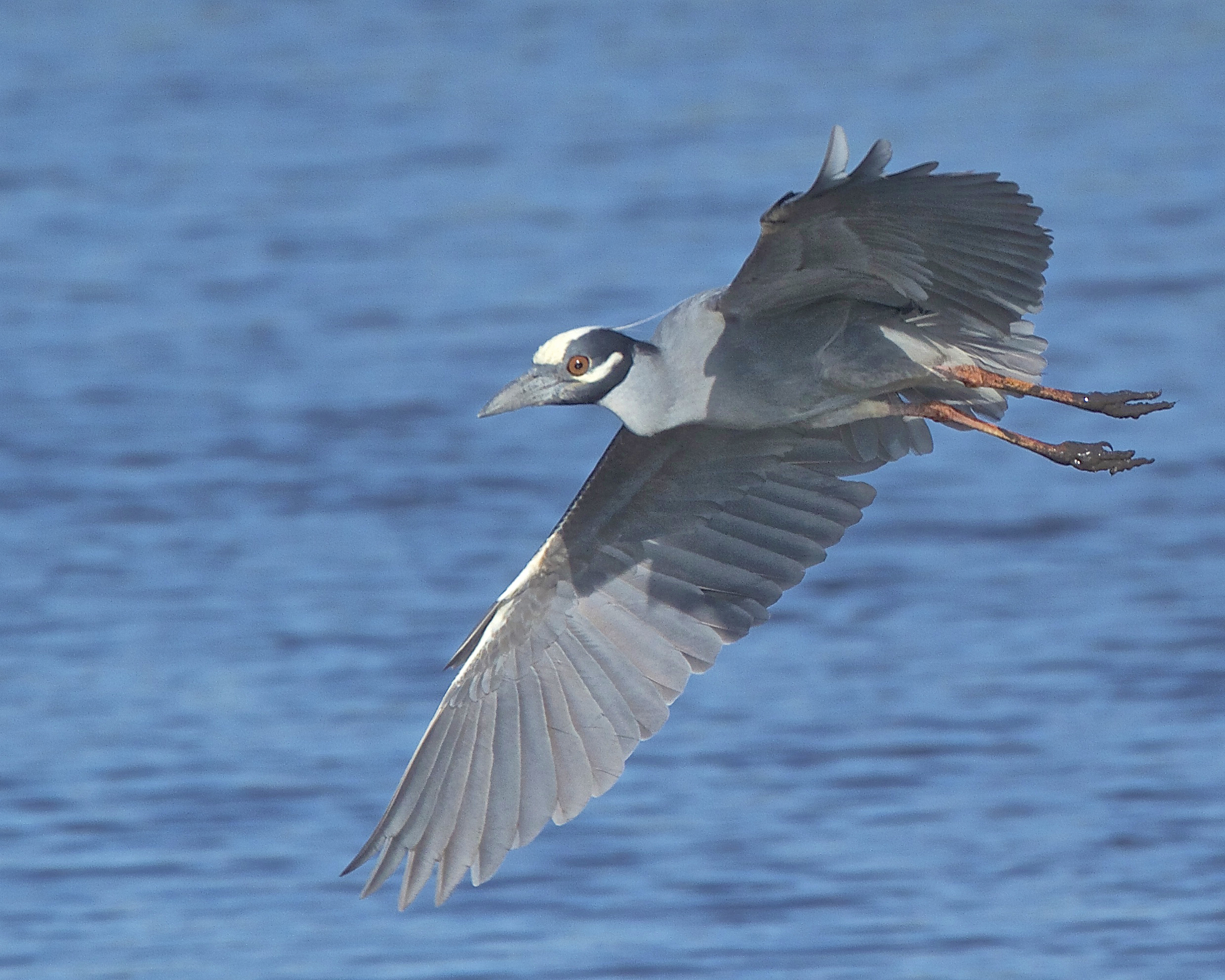 """George"" the Yellow Crowned Night Heron on a fly by with muddy feet."