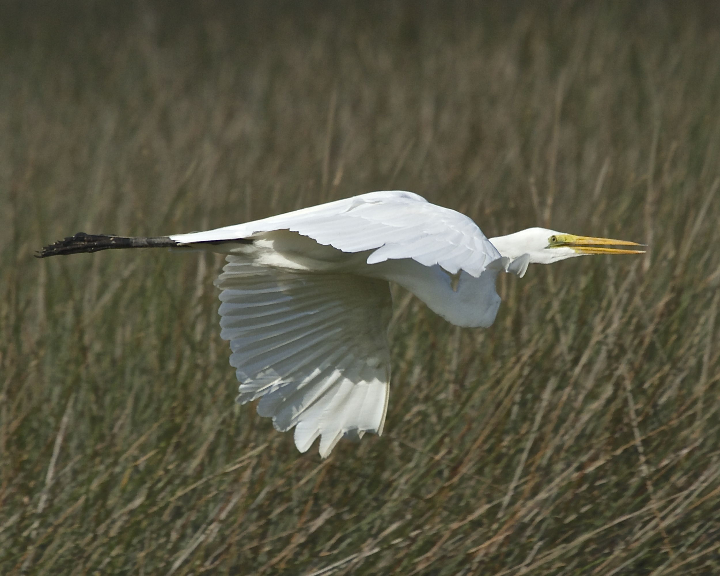 A Great Egret, an icon on the Broward,  glides by.