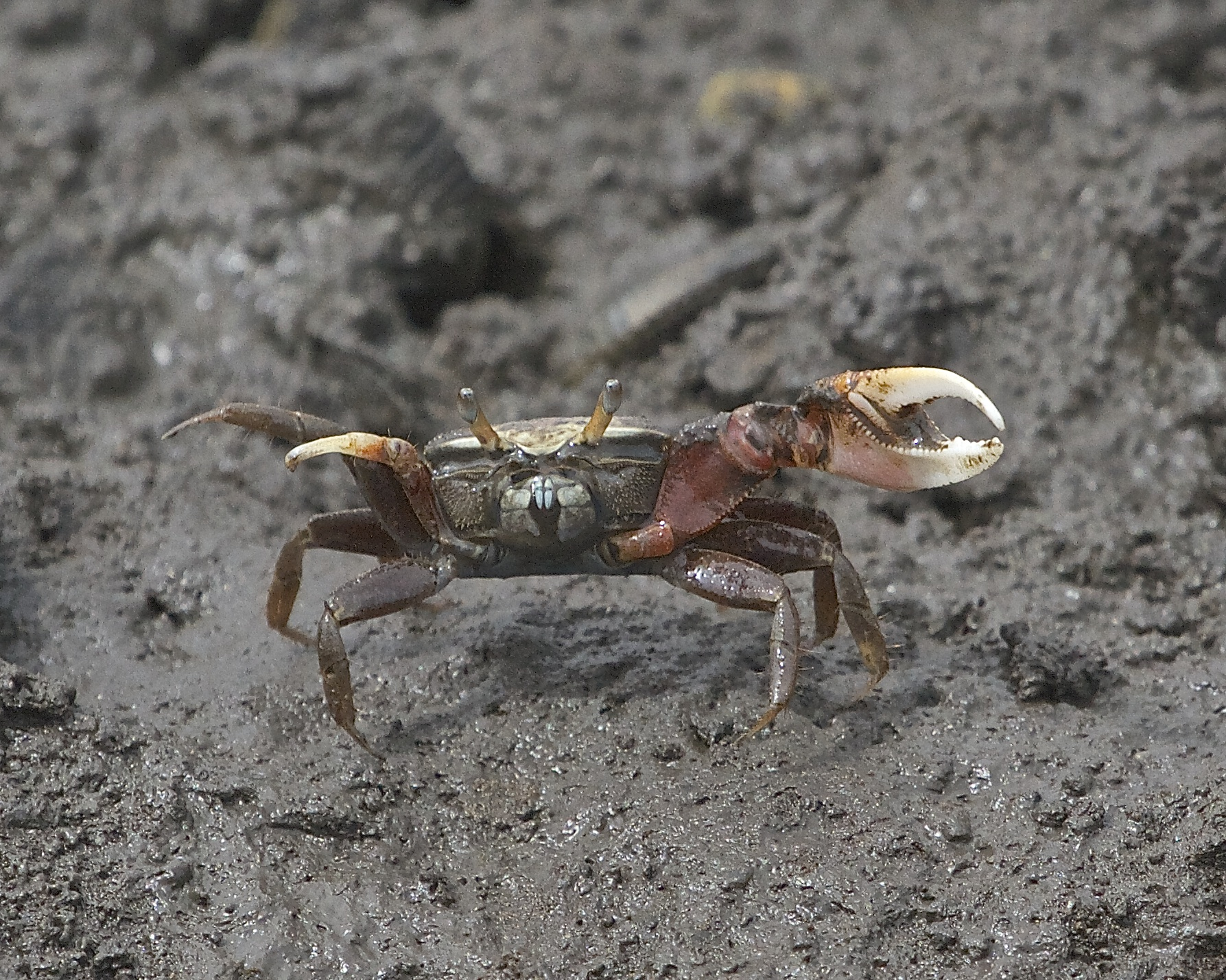 Well Fiddle Dee Dee, time to go says the fiddler crab!