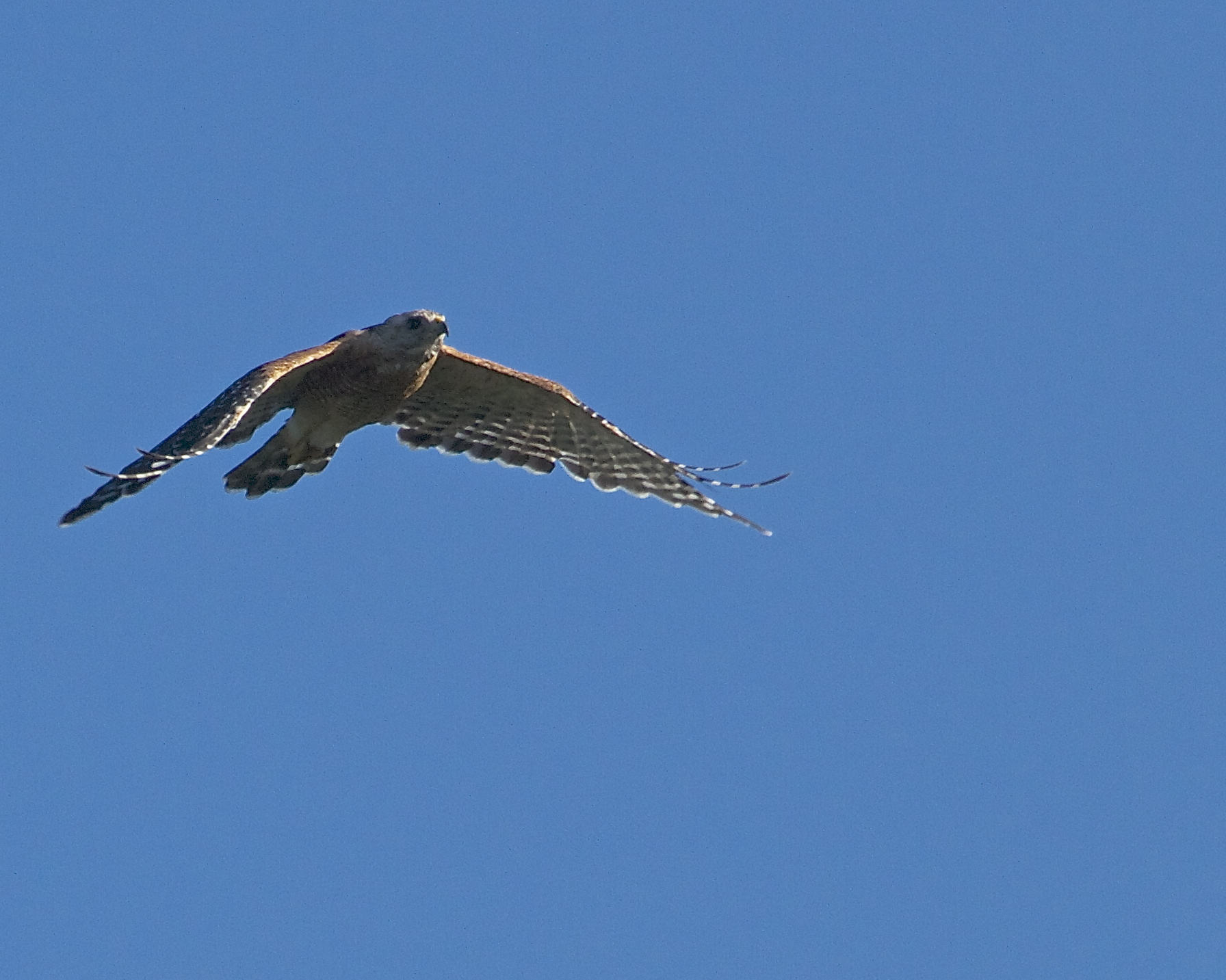 """The Red Shouldered Hawk announces its presence and is quickly """"escorted"""" out by the sentinel Red-Winged Blackbirds."""