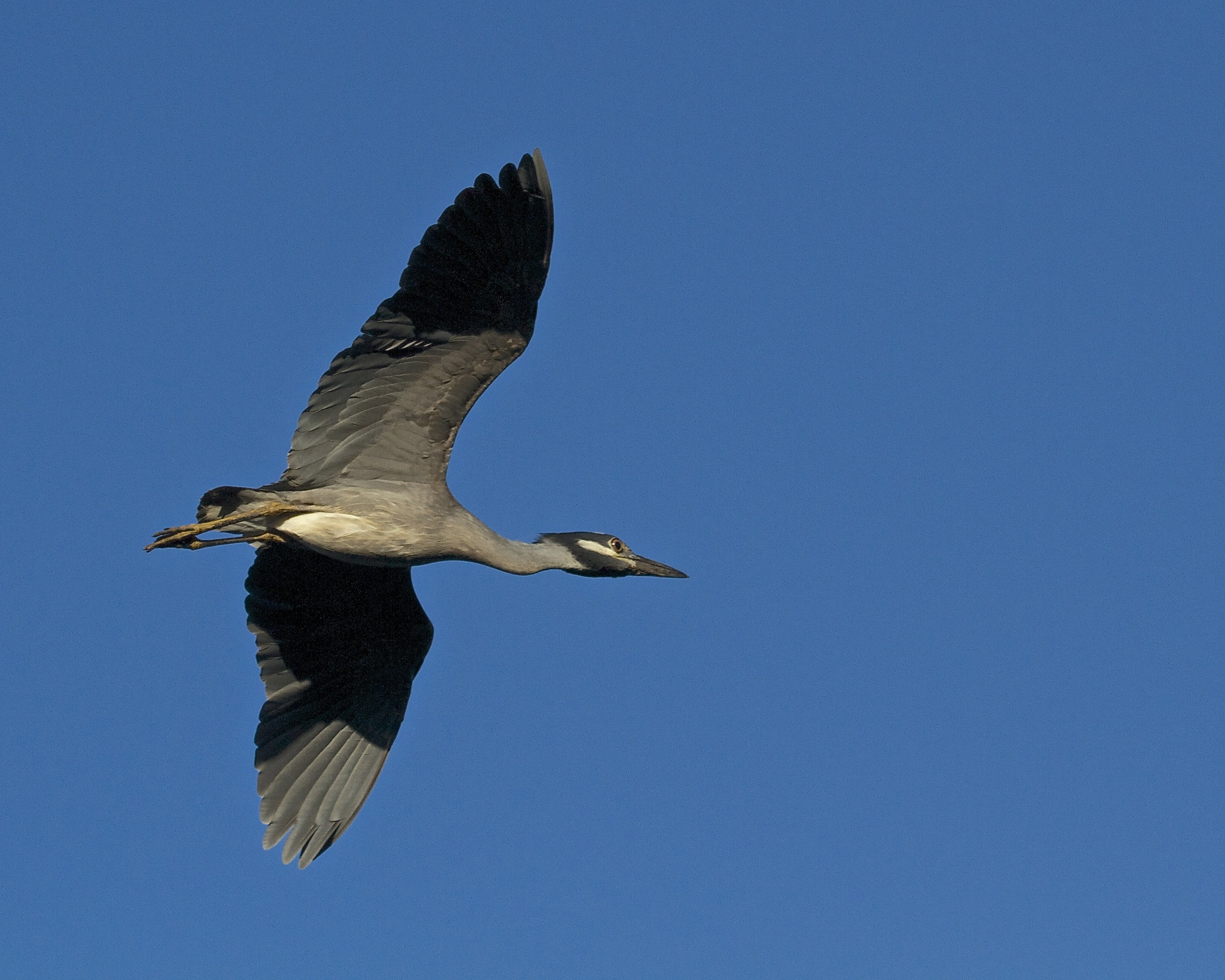 """As I walk up the dock I catch """"George"""" the Yellow Crowned Night Heron coming in for a landing."""