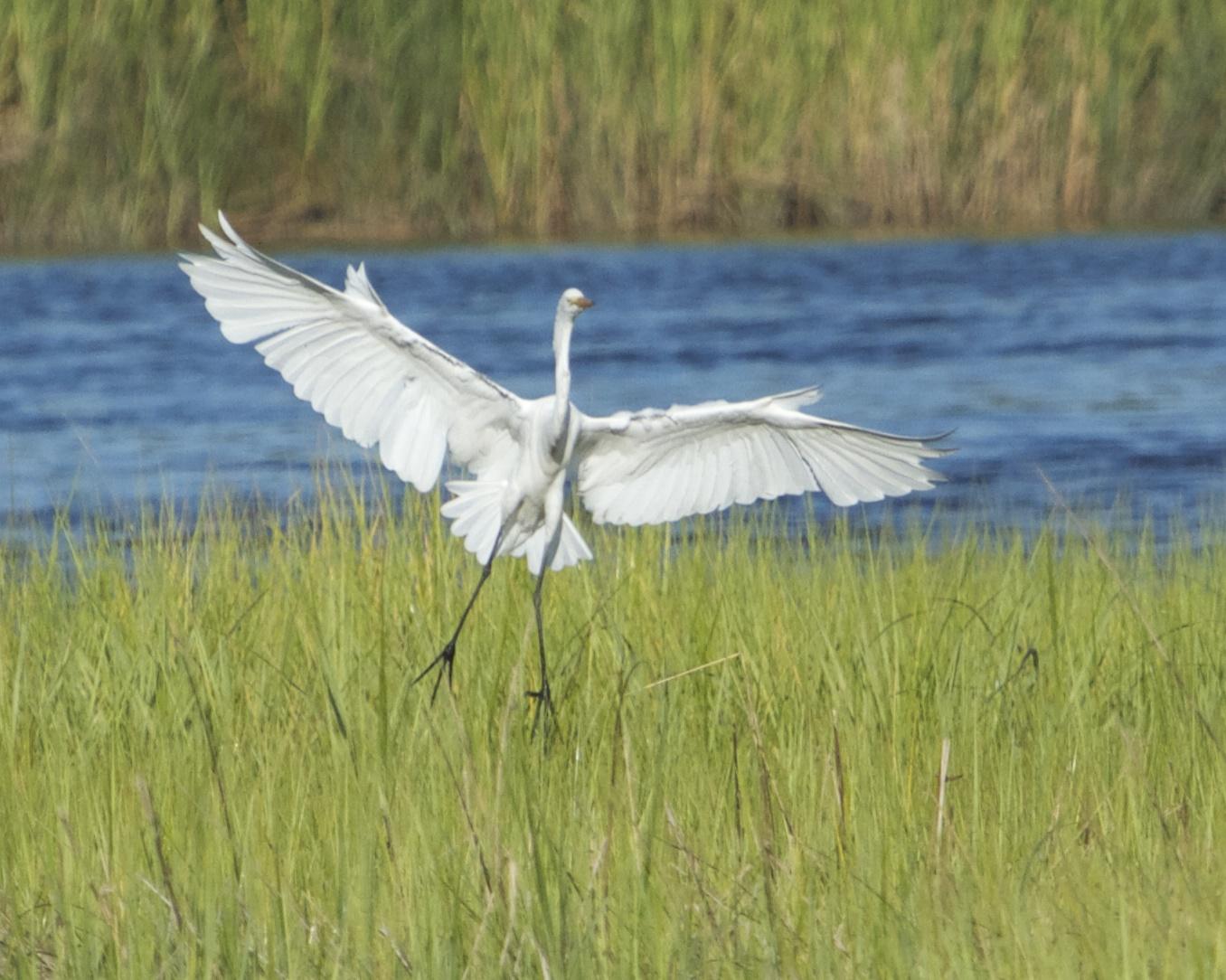 Great Egret makes a more Graceful landing approach!