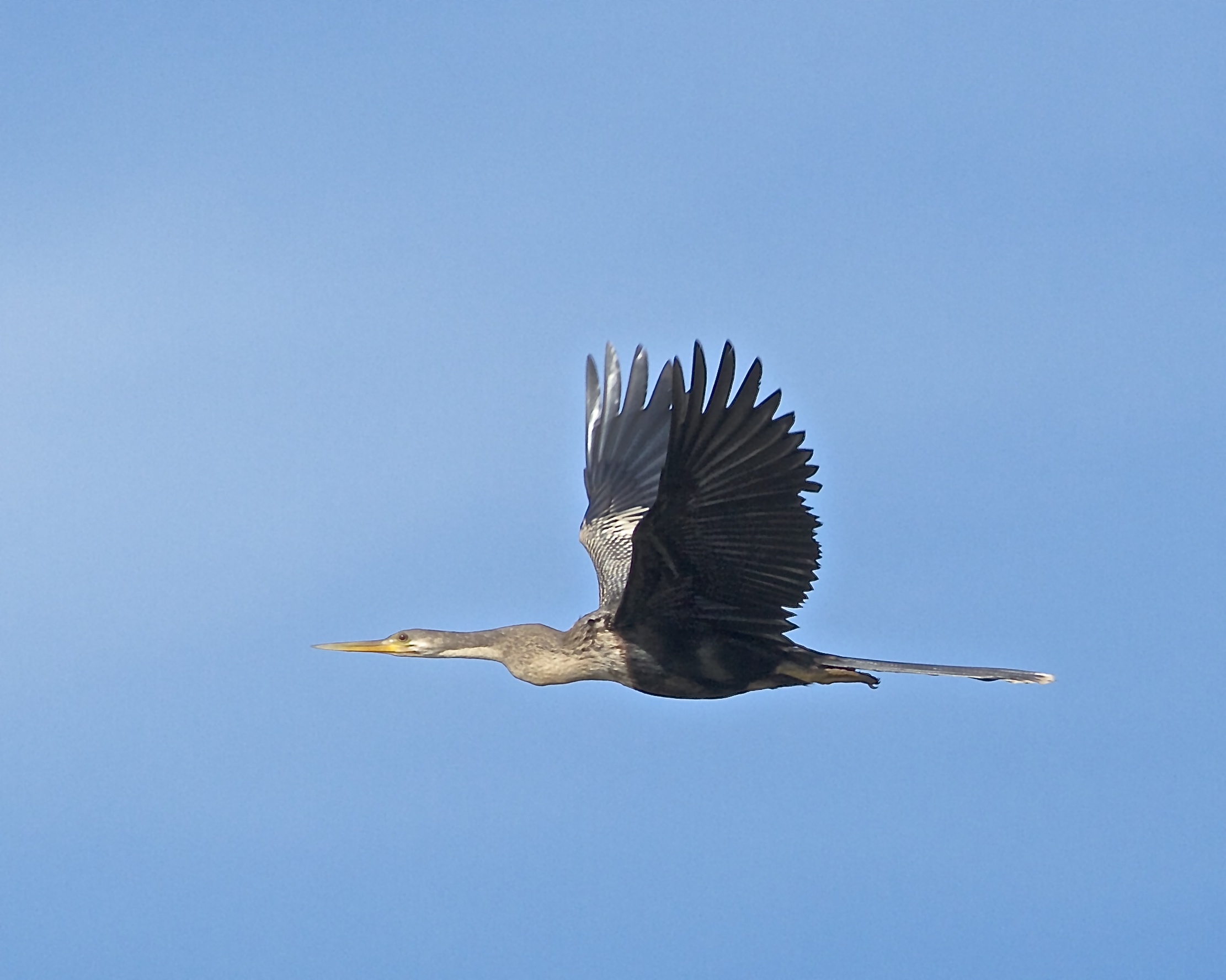 Anhinga female flying overhead. Note the tawny colored neck.