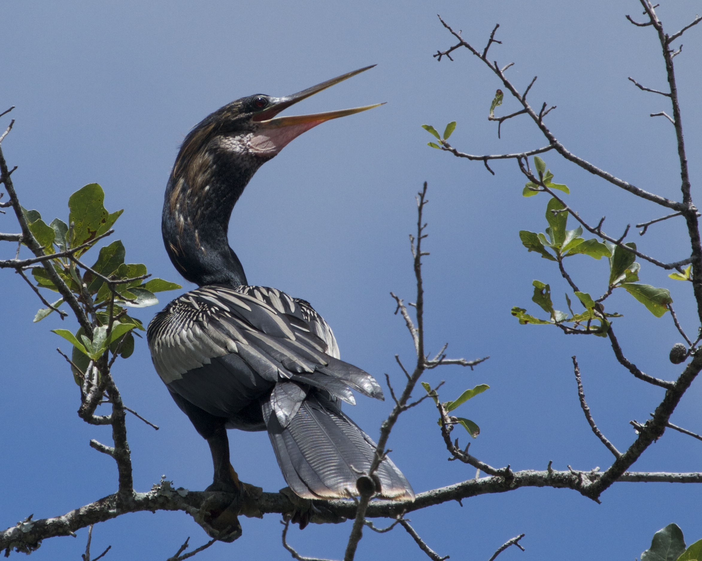 """A male Anhinga lands in the tree by the dock. It exhibits a """"panting"""" type display. Must be the heat!"""