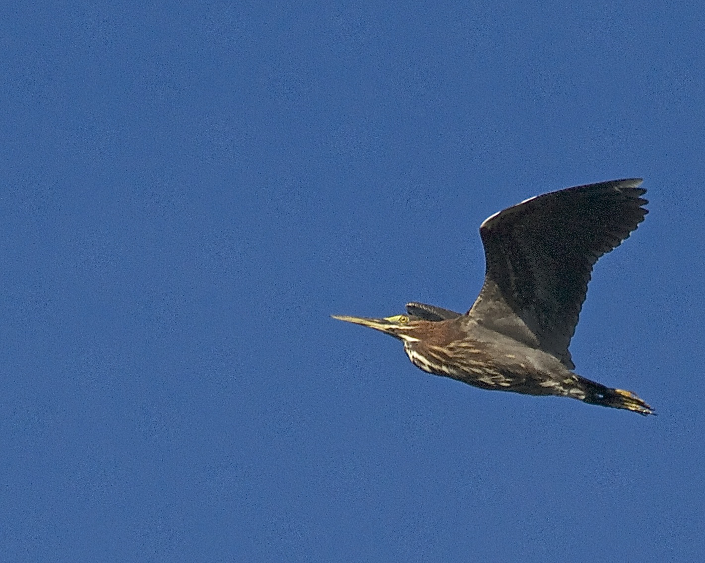 Green Herons wing overhead each day.