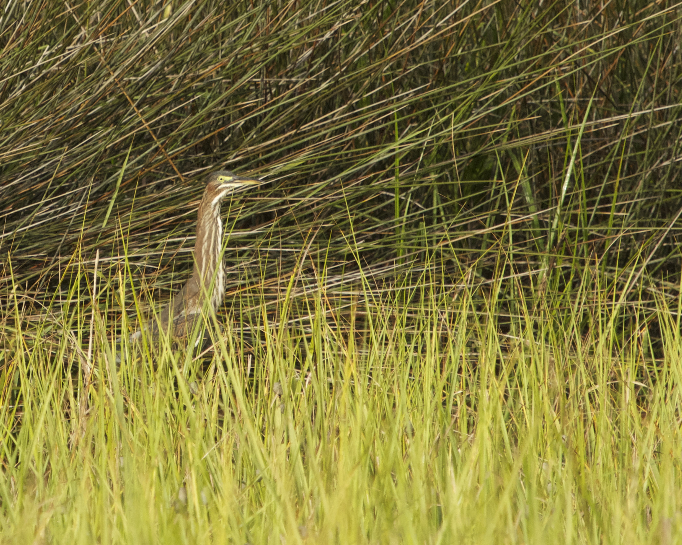 The Green Heron is hard to distinguish from the marsh grass.