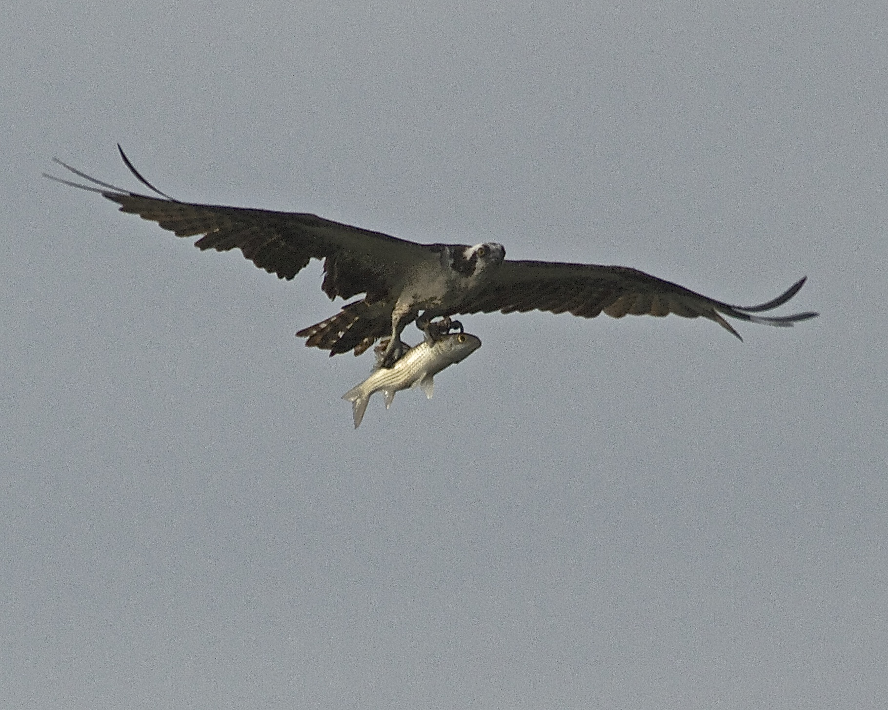 Far up the Browad I see an Osprey with a huge fish under wing!