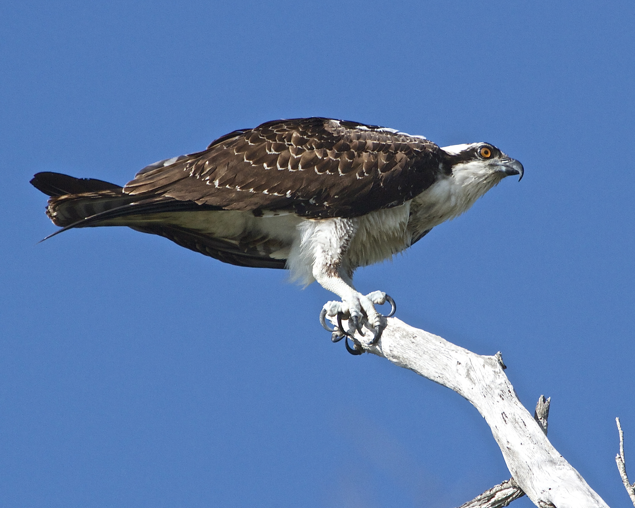 The Osprey or  Fish Hawk , sits on a perch and anxiously scans the river for signs of fish.