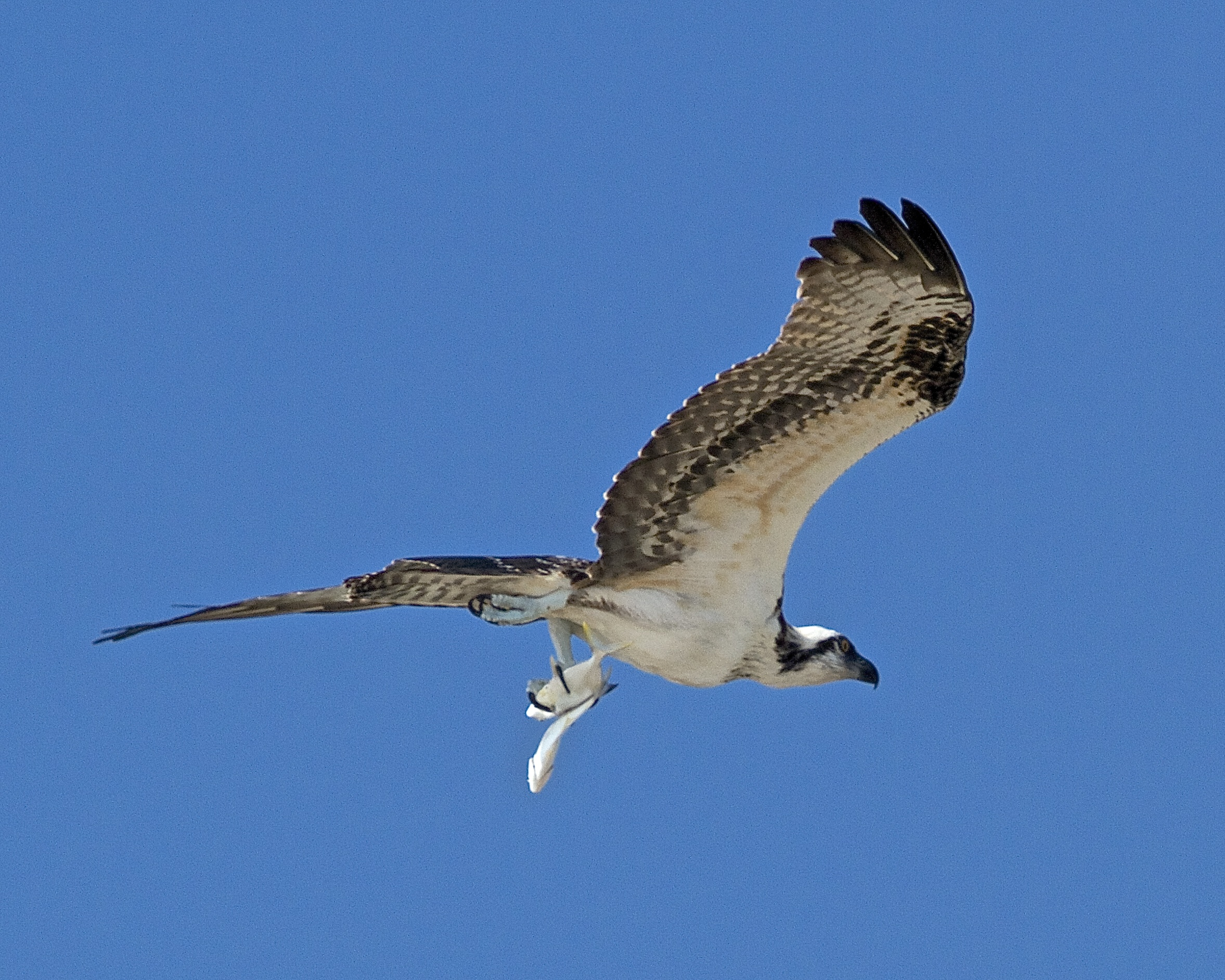 A female Osprey returns with two prized catches on a perfect Osprey Dawn!