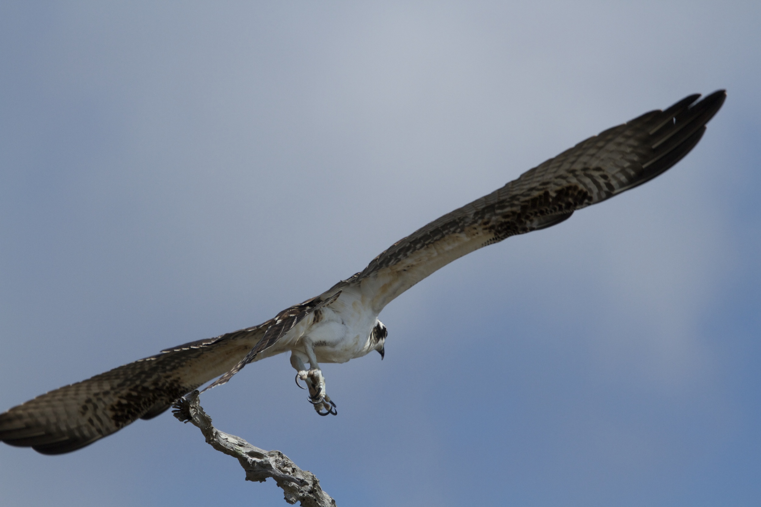Well, gotta go..Be Blessed and have a Great Osprey Dawn Day!