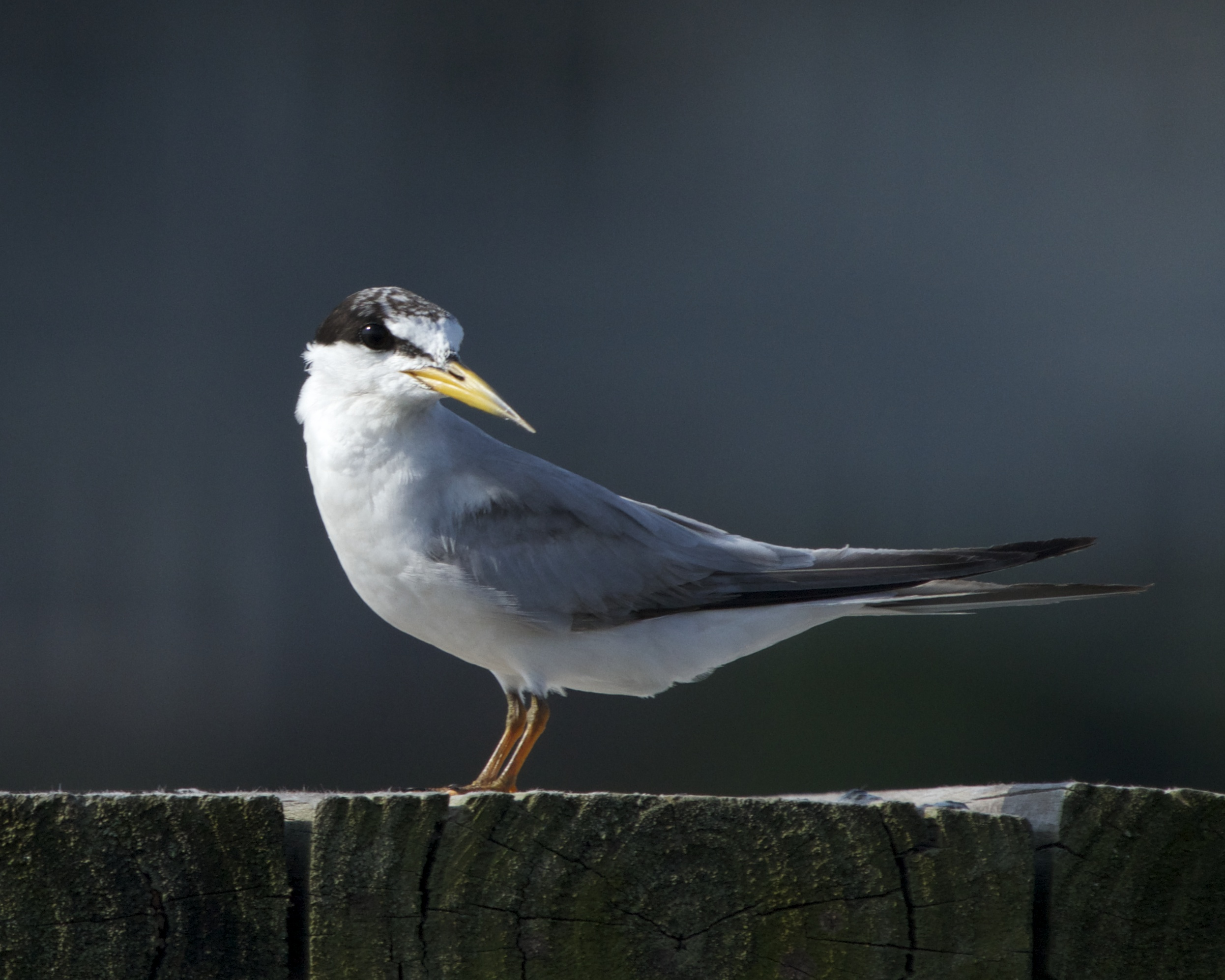 Least Tern in non breeding colors observes me closely.