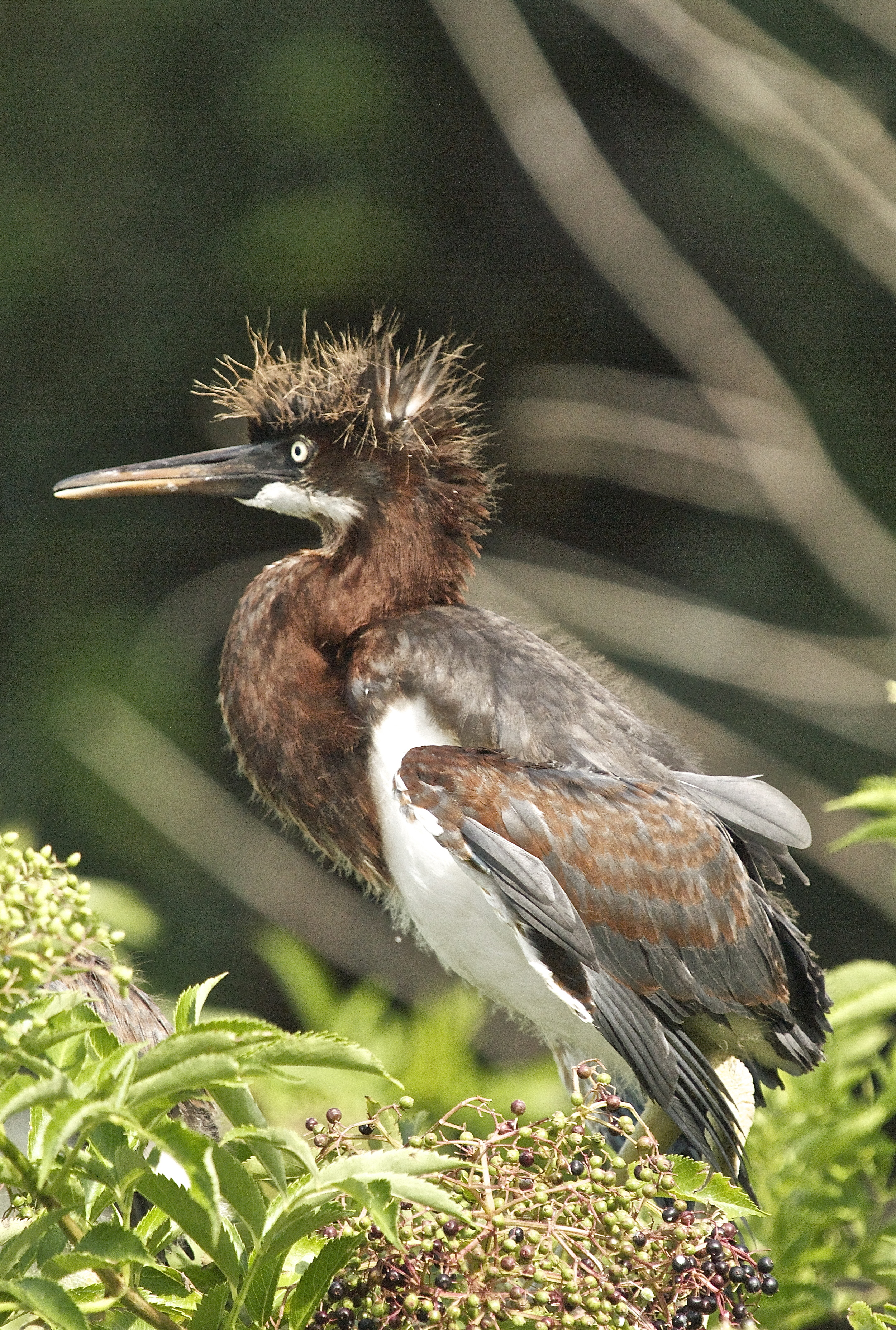 Tricolored Heron chick with spiked hairdo.
