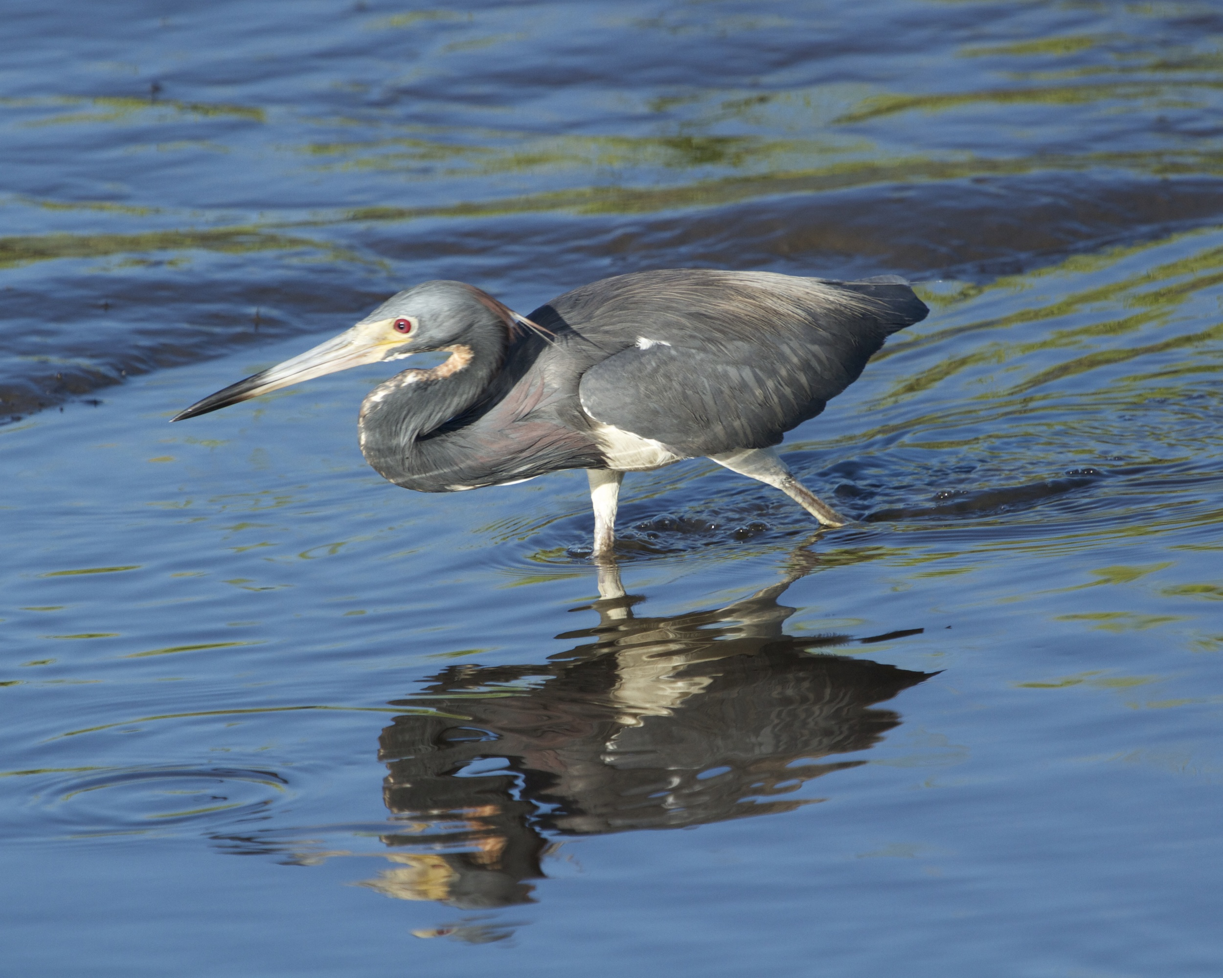 Adult Tricolored Heron hunts in the shallow tide stream. Note the neck is more blue grey.