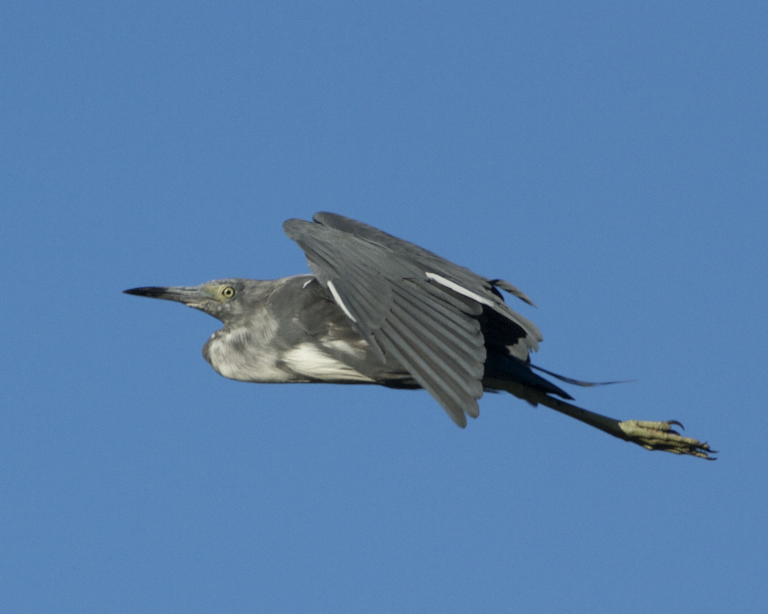 Juvenile Little Blue Heron lifts off.