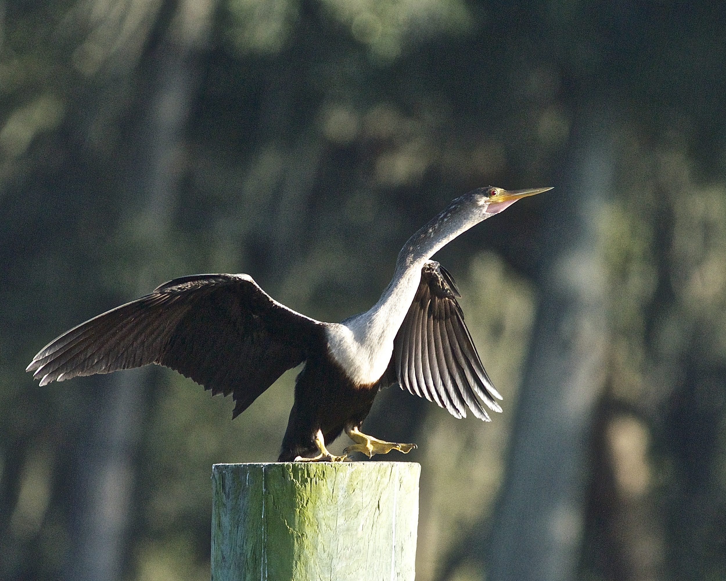 Female Anhinga about to fly.