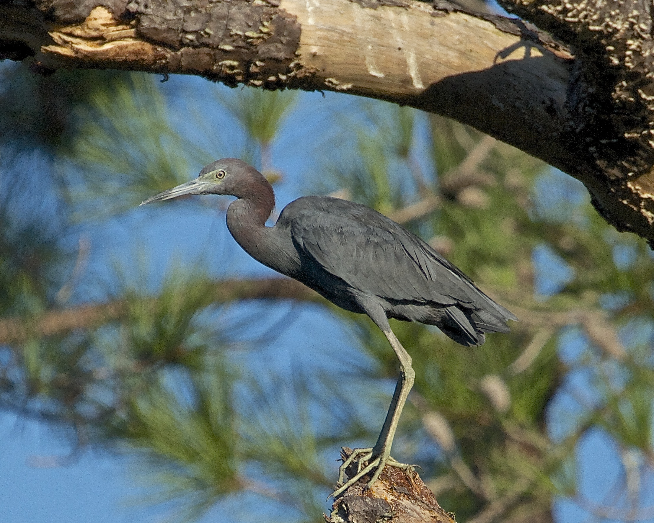 A Little Blue Heron feels the weight of the world hanging over his head!