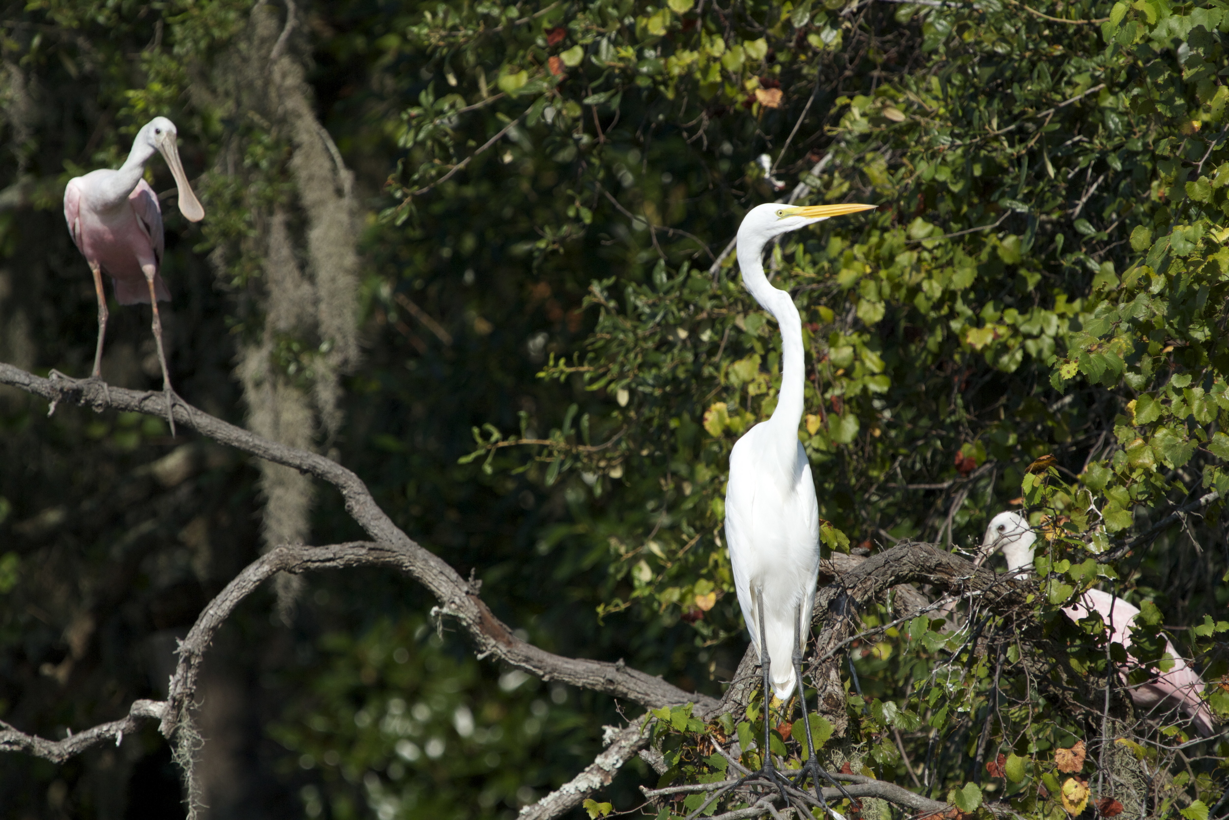 Oh Oh, He's Back! The Egret gets nervous.