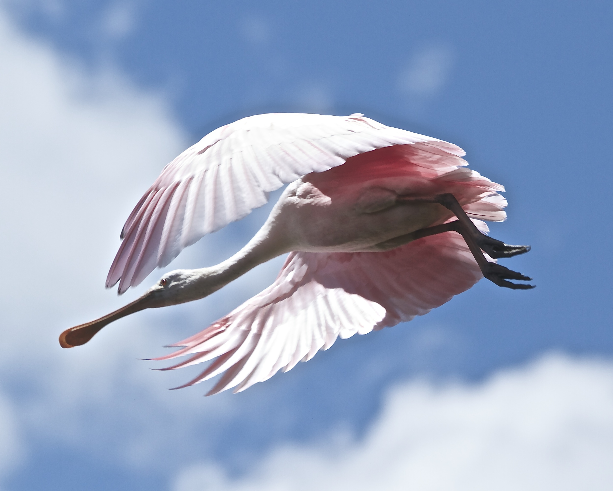 Pink Angel in flight.